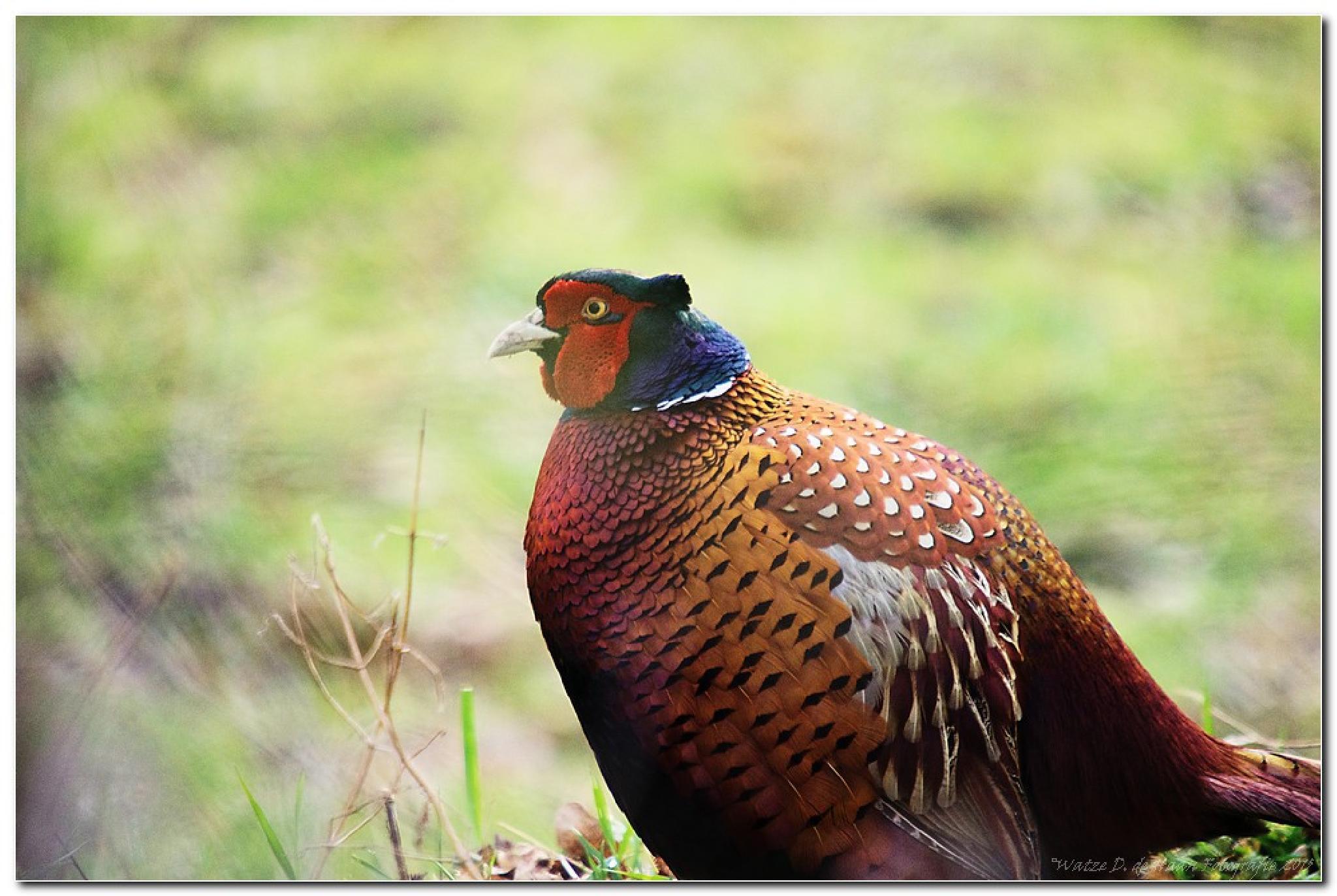 Photo in Animal #pheasant #bird #park #schothorst #amersfoort #netherlands #nature