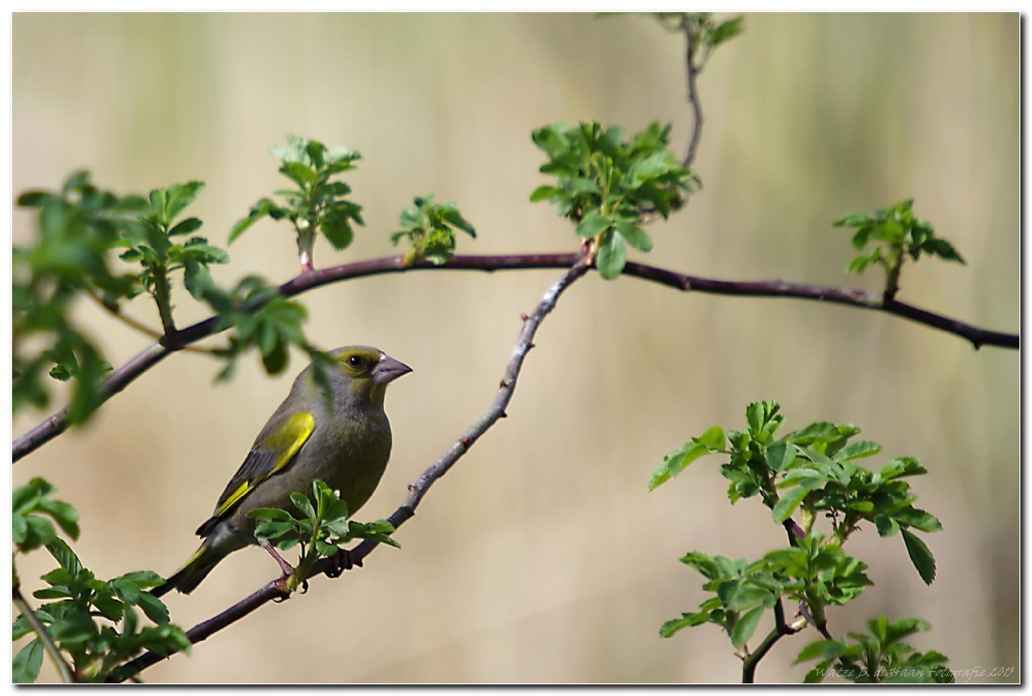 European Greenfinch by Watze D. de Haan