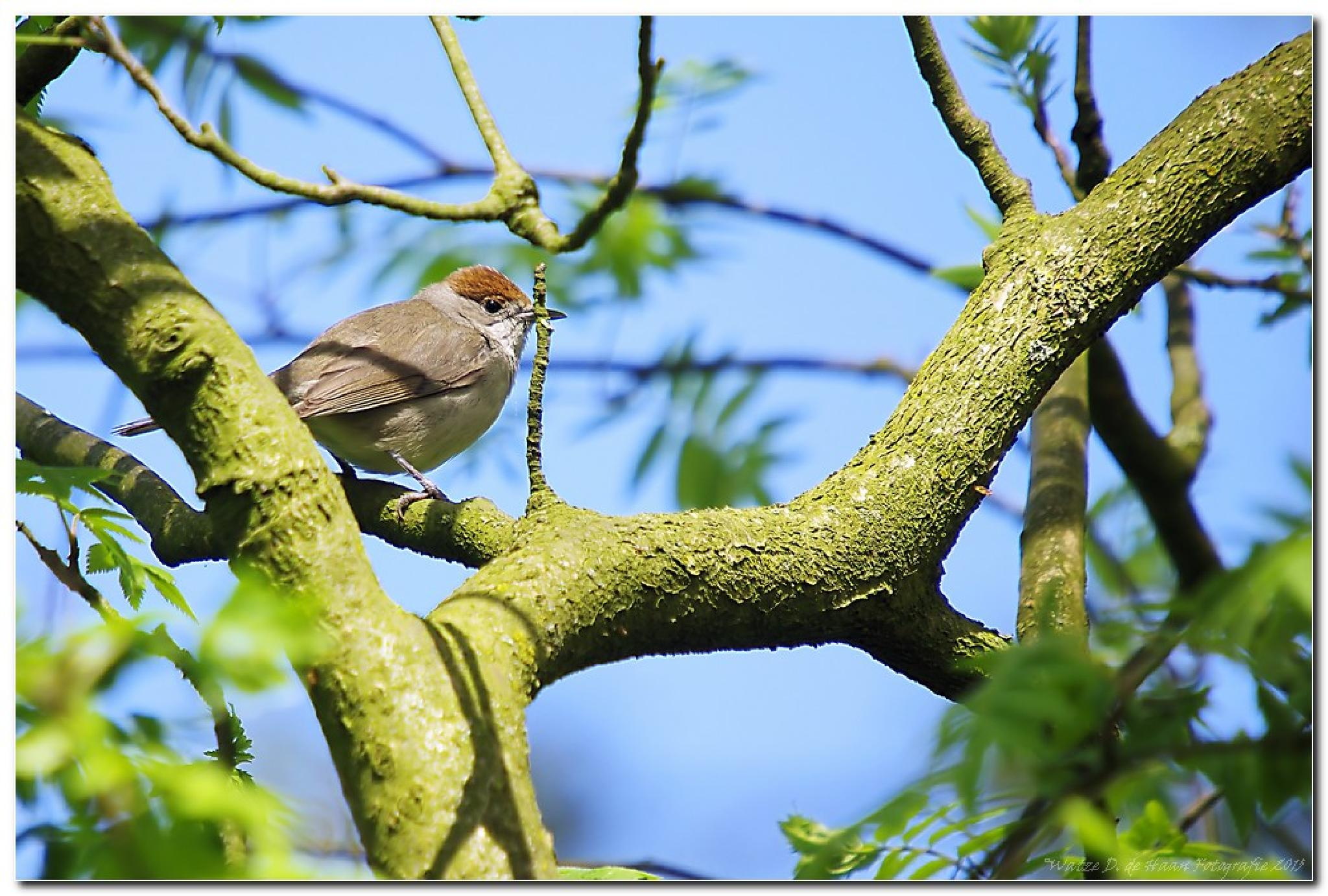 Photo in Animal #blackcap #bird #wildlife #nature #park schothorst #amersfoort #netherlands
