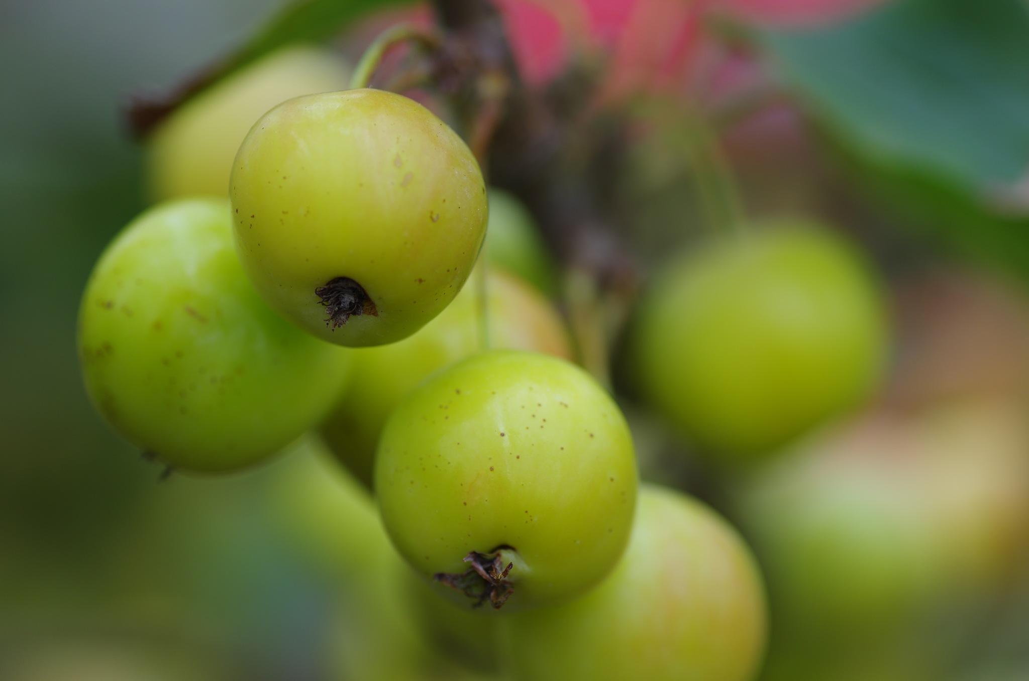 apples by Watze D. de Haan
