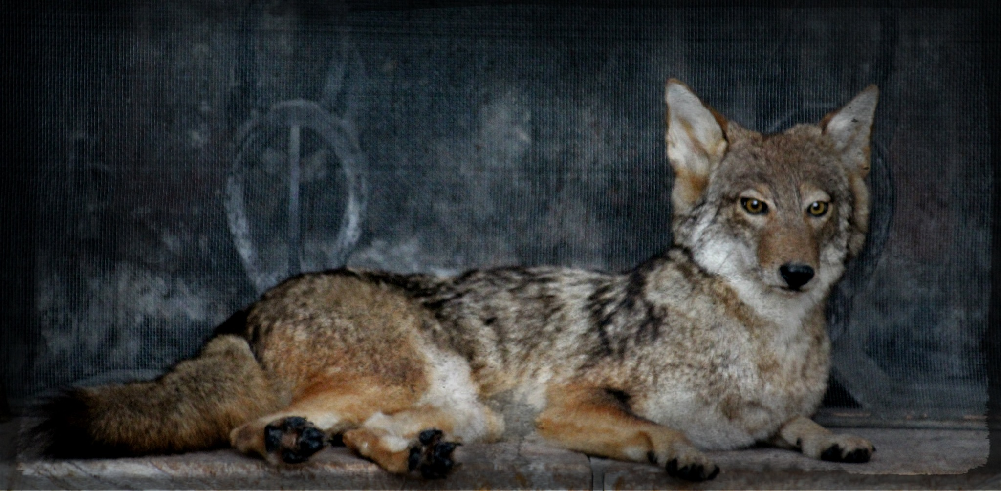 Wile E Coyote by Lucretia Bittner