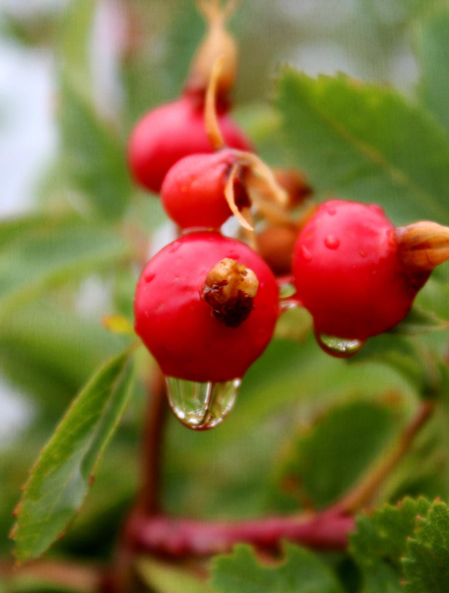 Berry and Raindrops by Lucretia Bittner