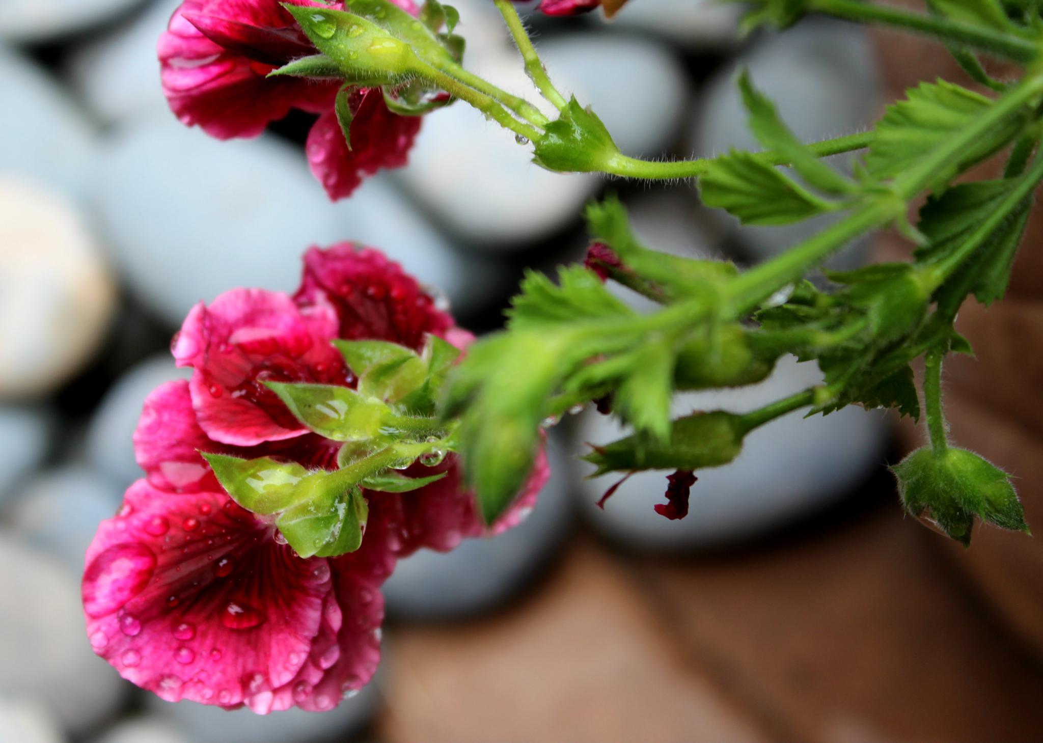 Raindrops on Pink Flower by Lucretia Bittner