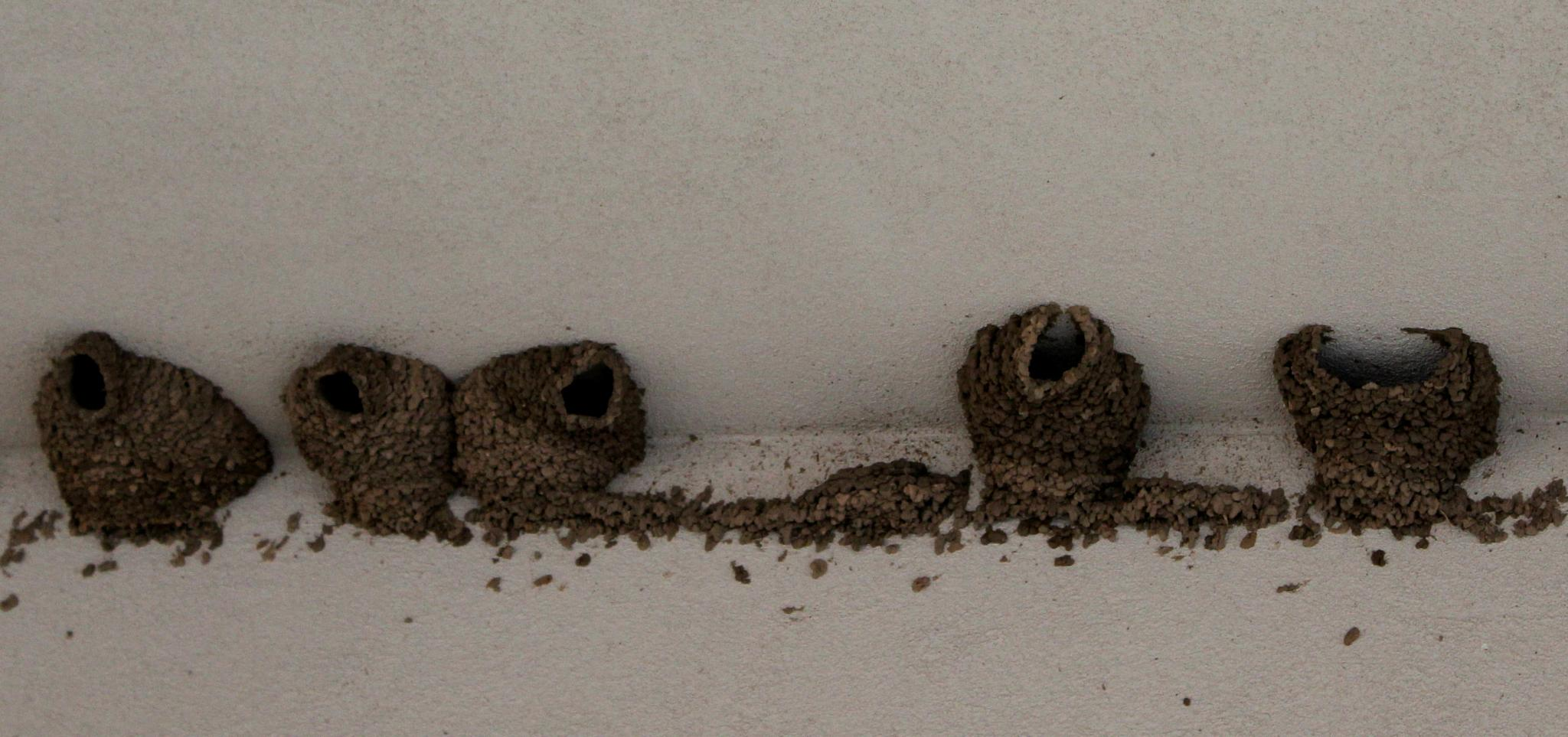 Barn Swallow Nests by Lucretia Bittner