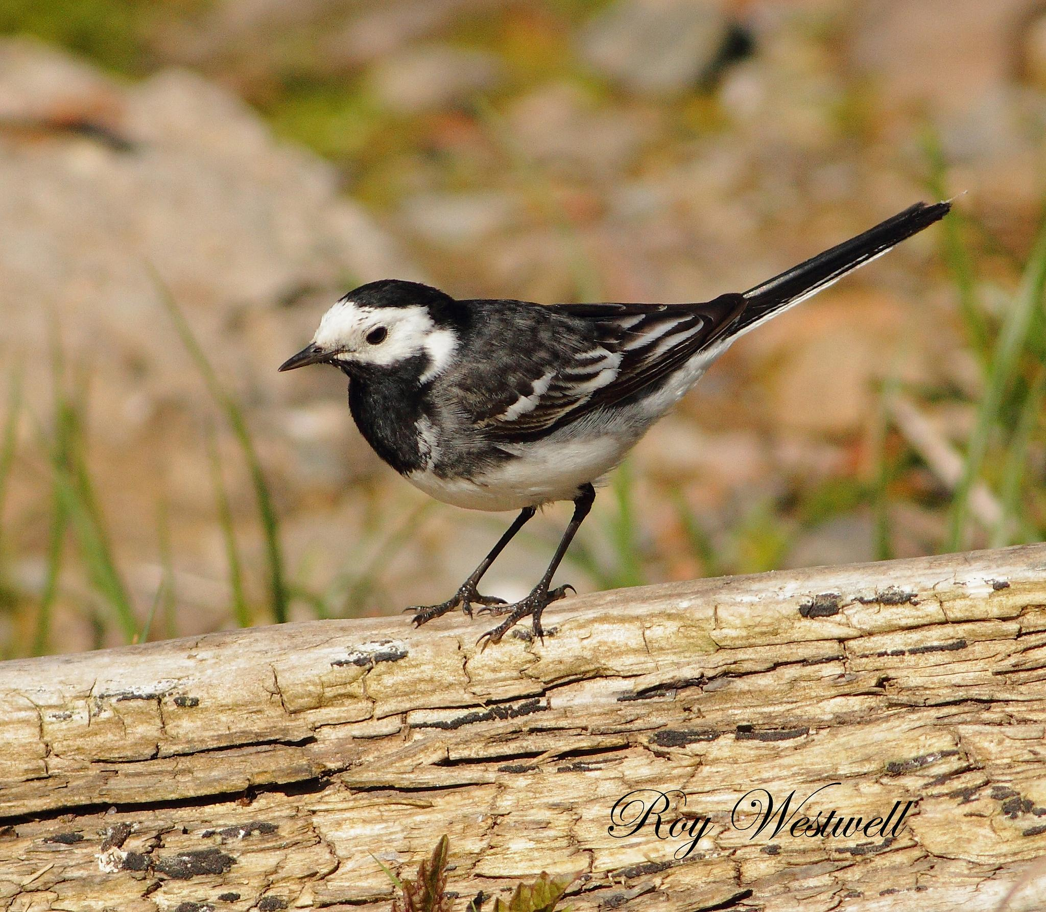 Pied wagtail by Roywez67