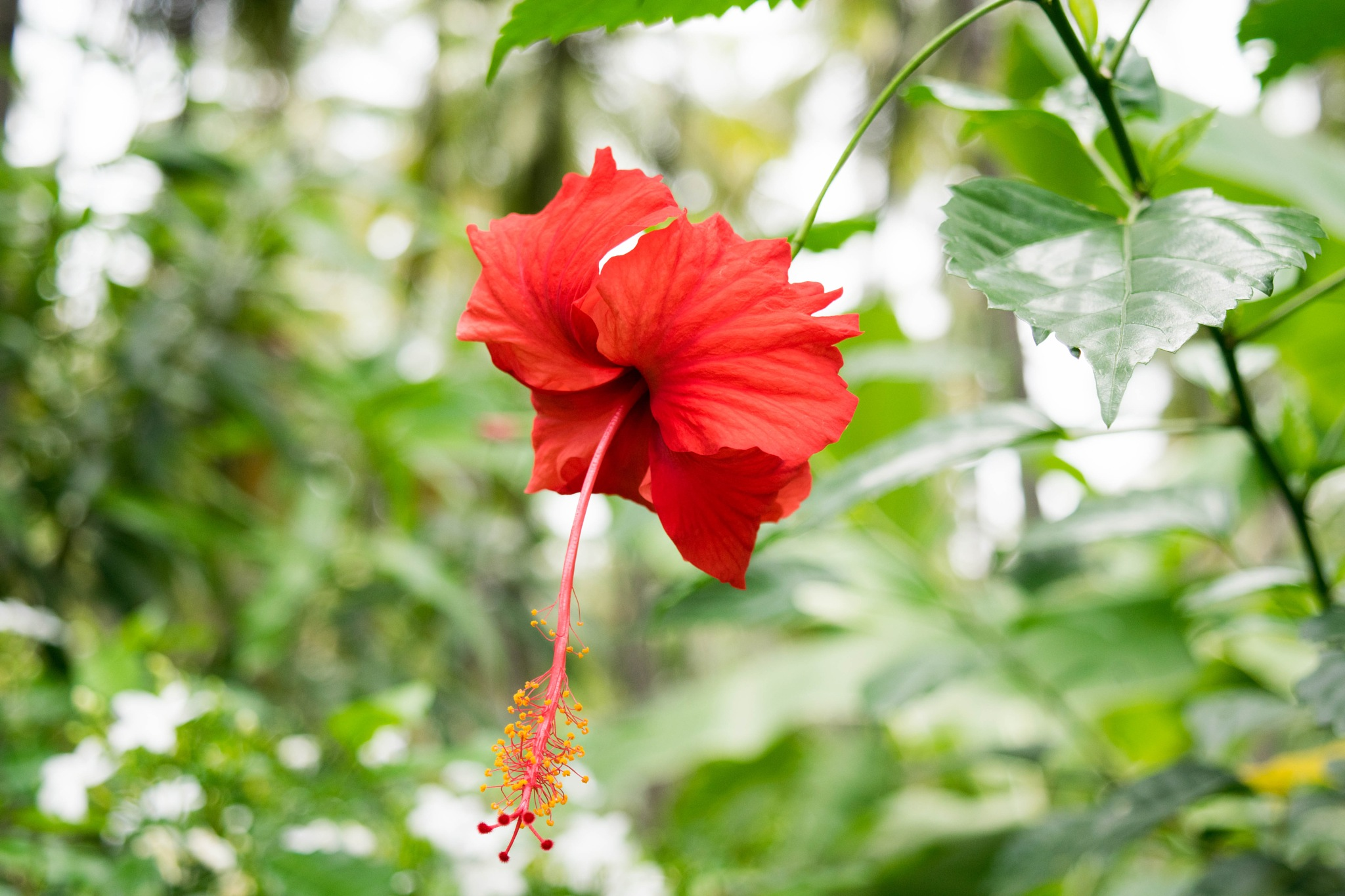 Hibiscus by Lokesh