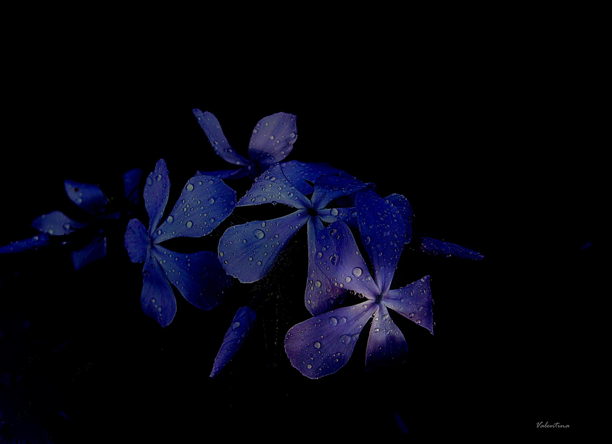 Blue flowers. by Valentina