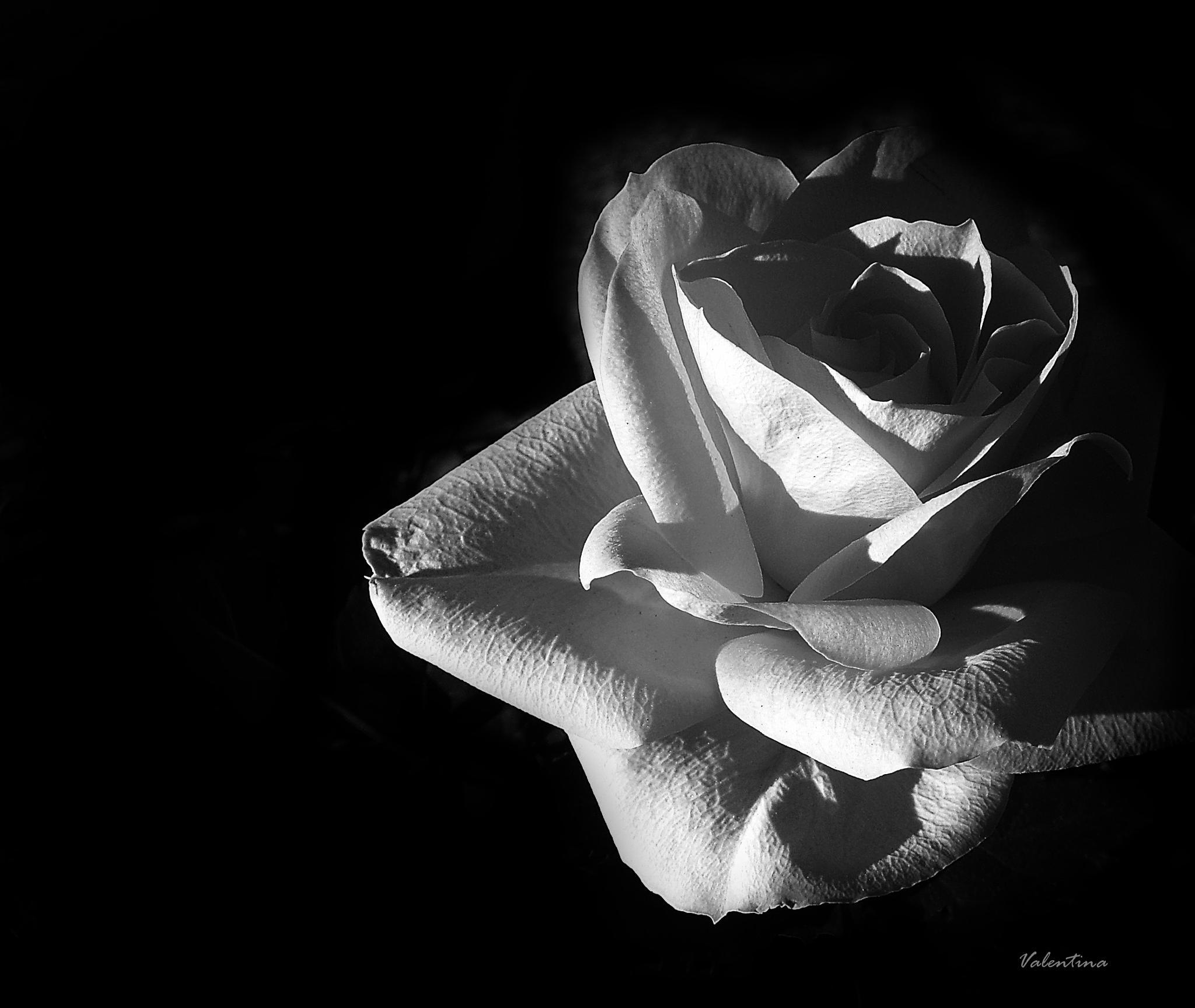 Rose B/W by Valentina