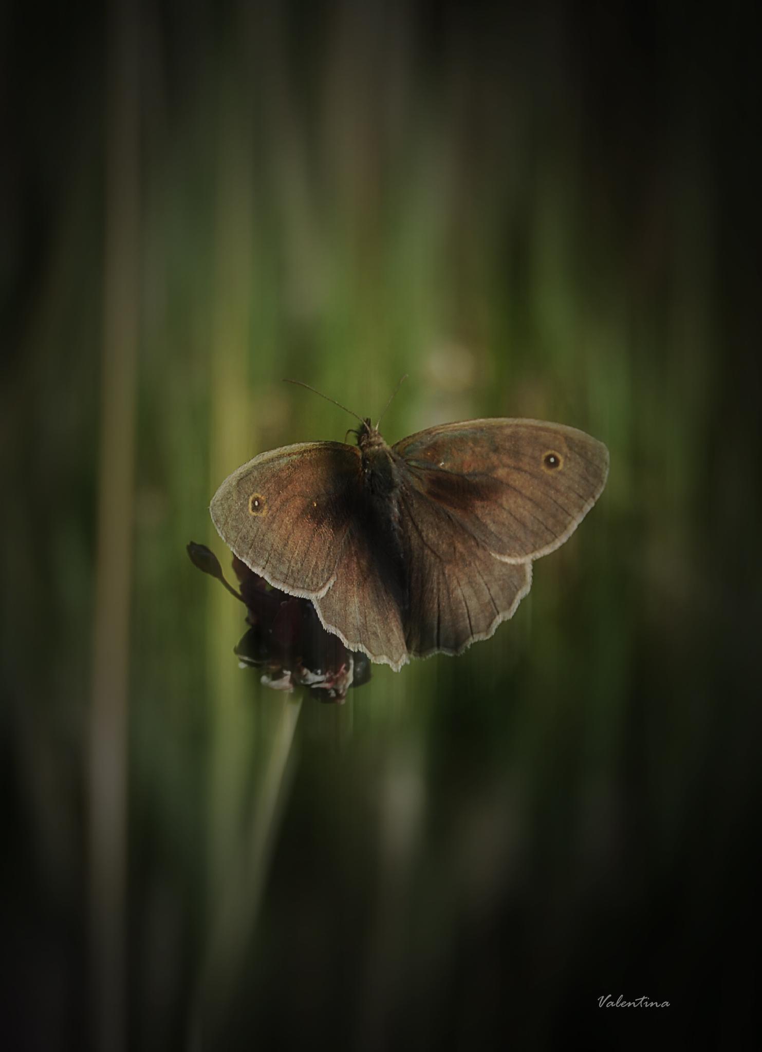 Butterfly. by Valentina