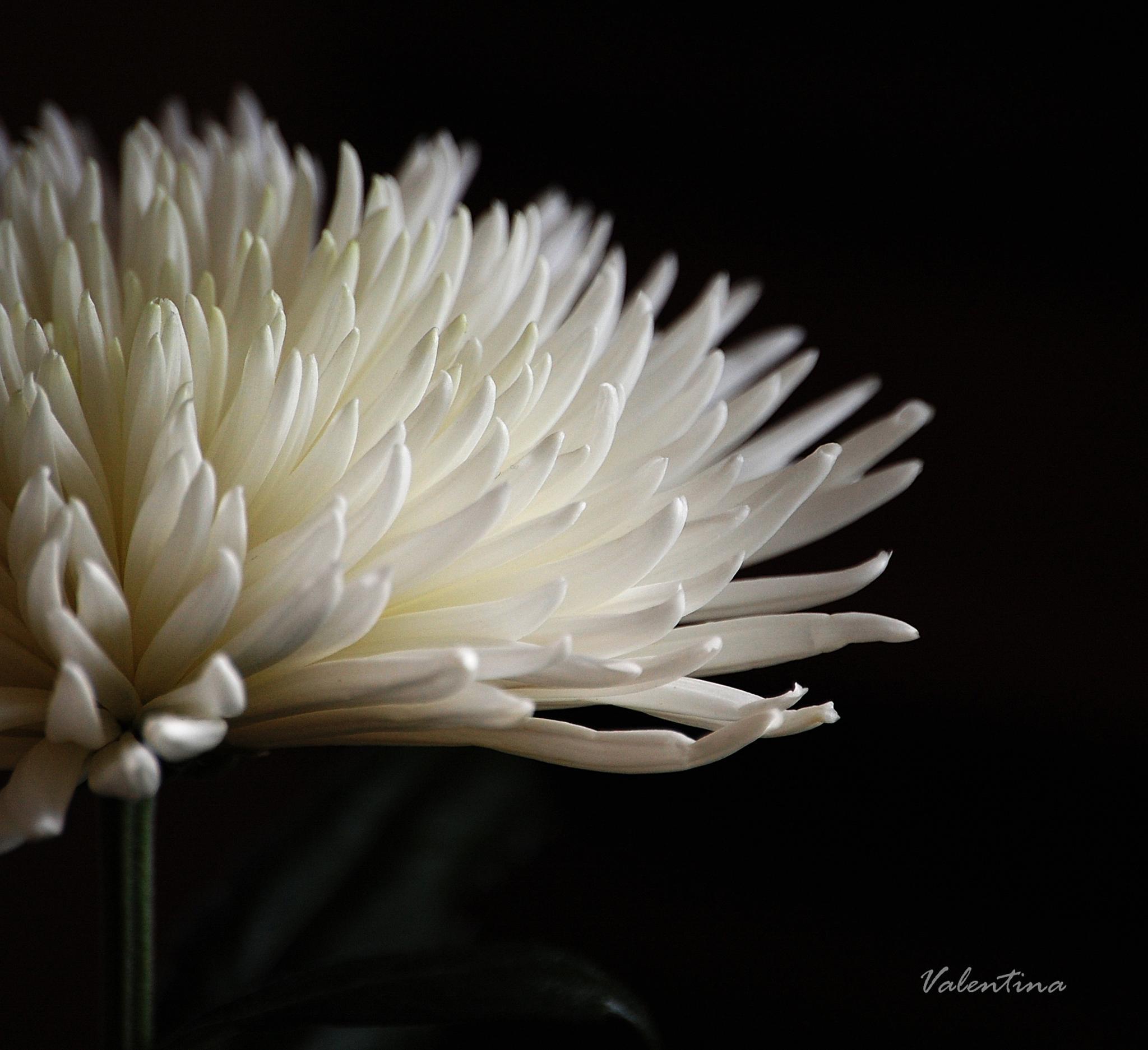 So white... by Valentina