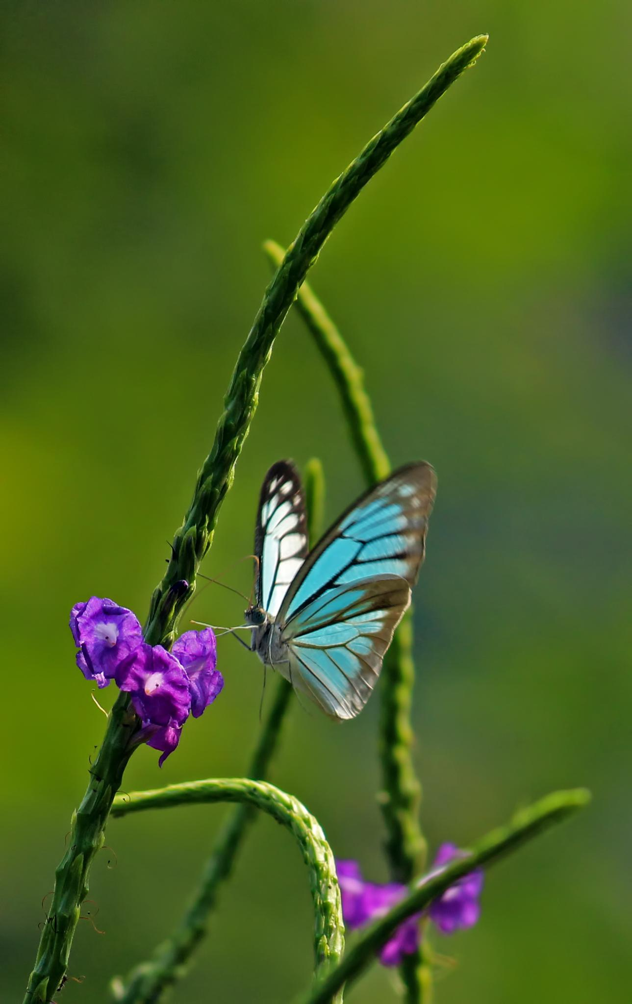 Blue winged butterfly by Karthik Easvur