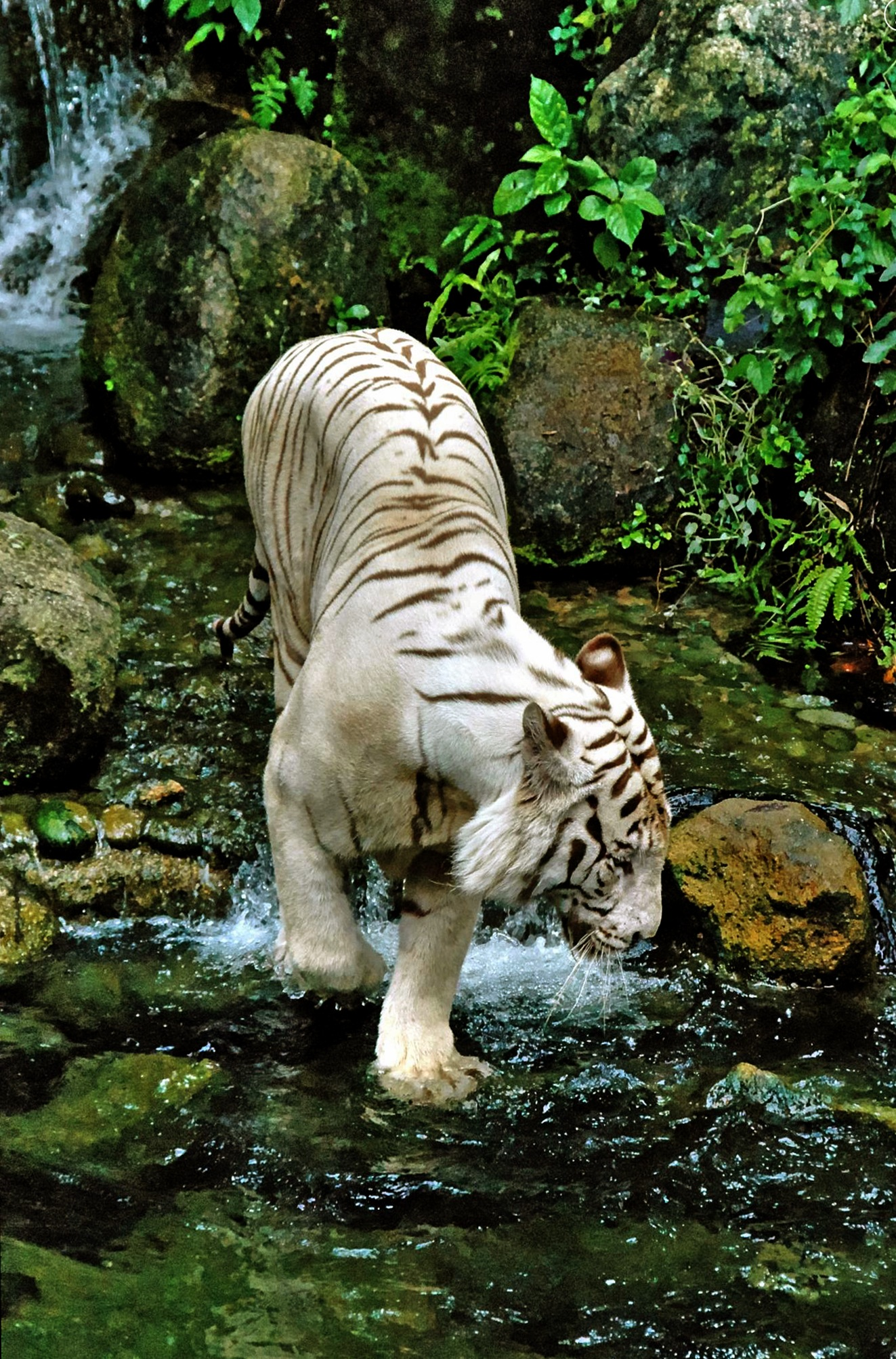 White Tiger Hunting  by Steven Best