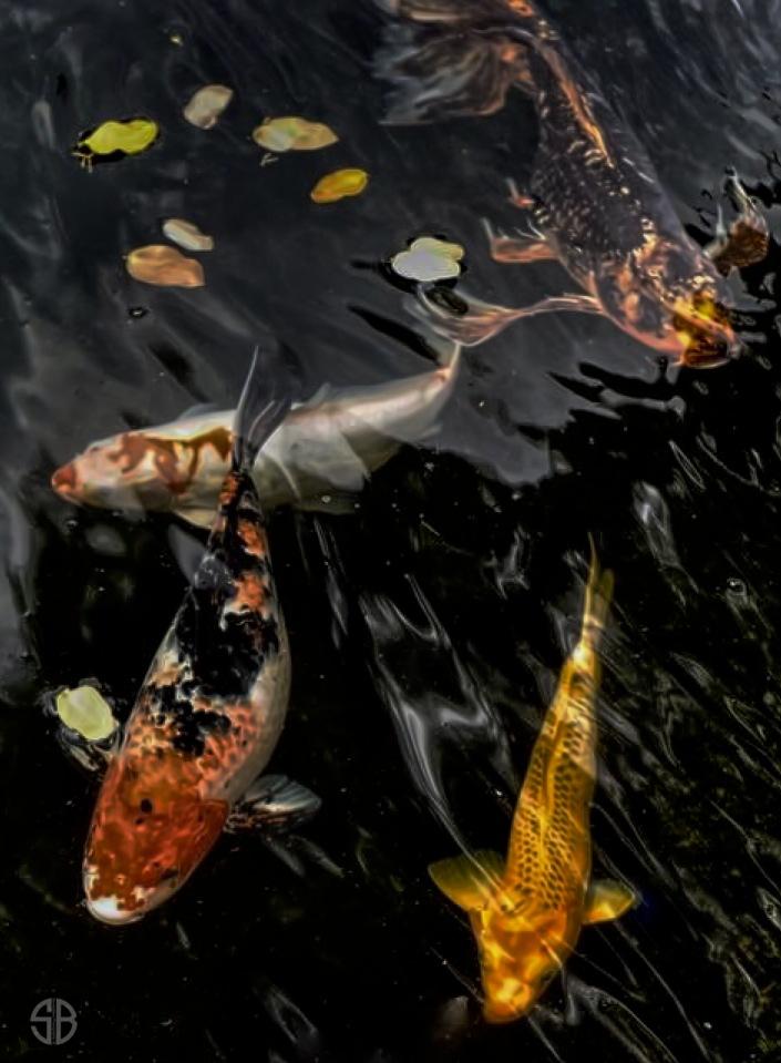 Swimming Koi Carp by Steven Best