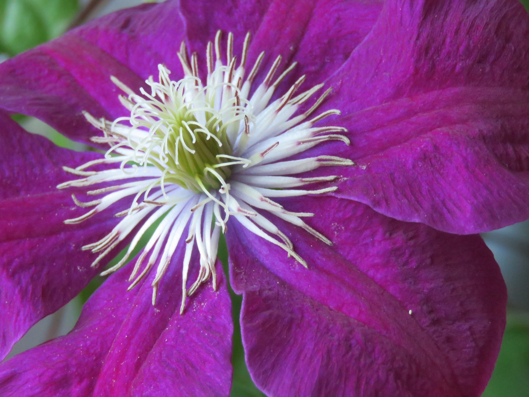 Clematis  by Wacharaporn  (Sa) Hooper