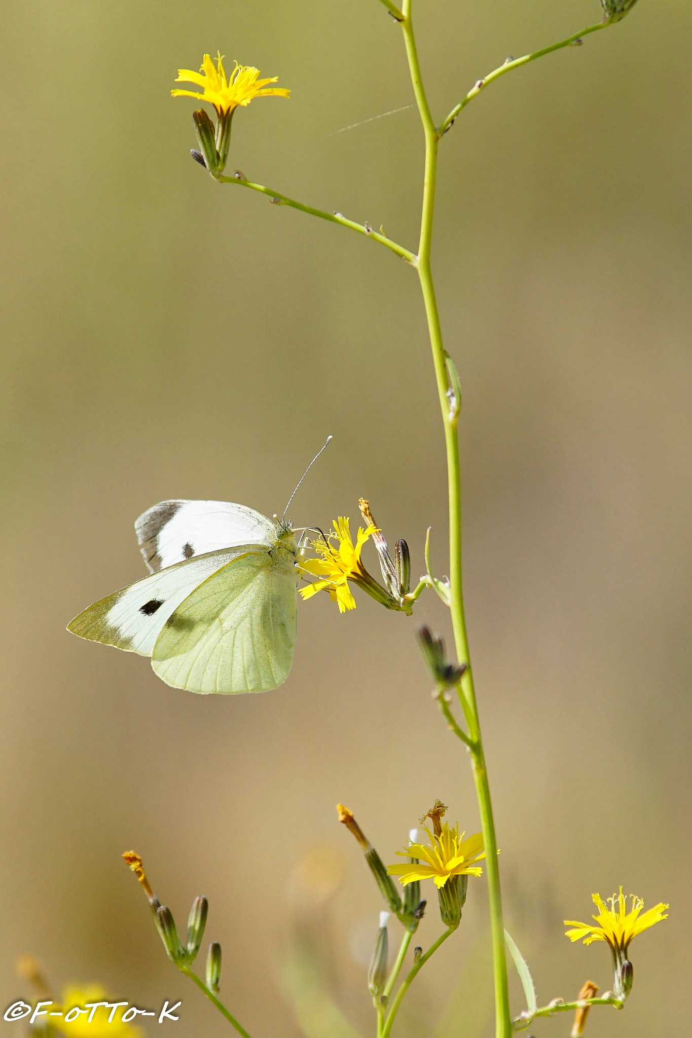 Motylek.... by Karol