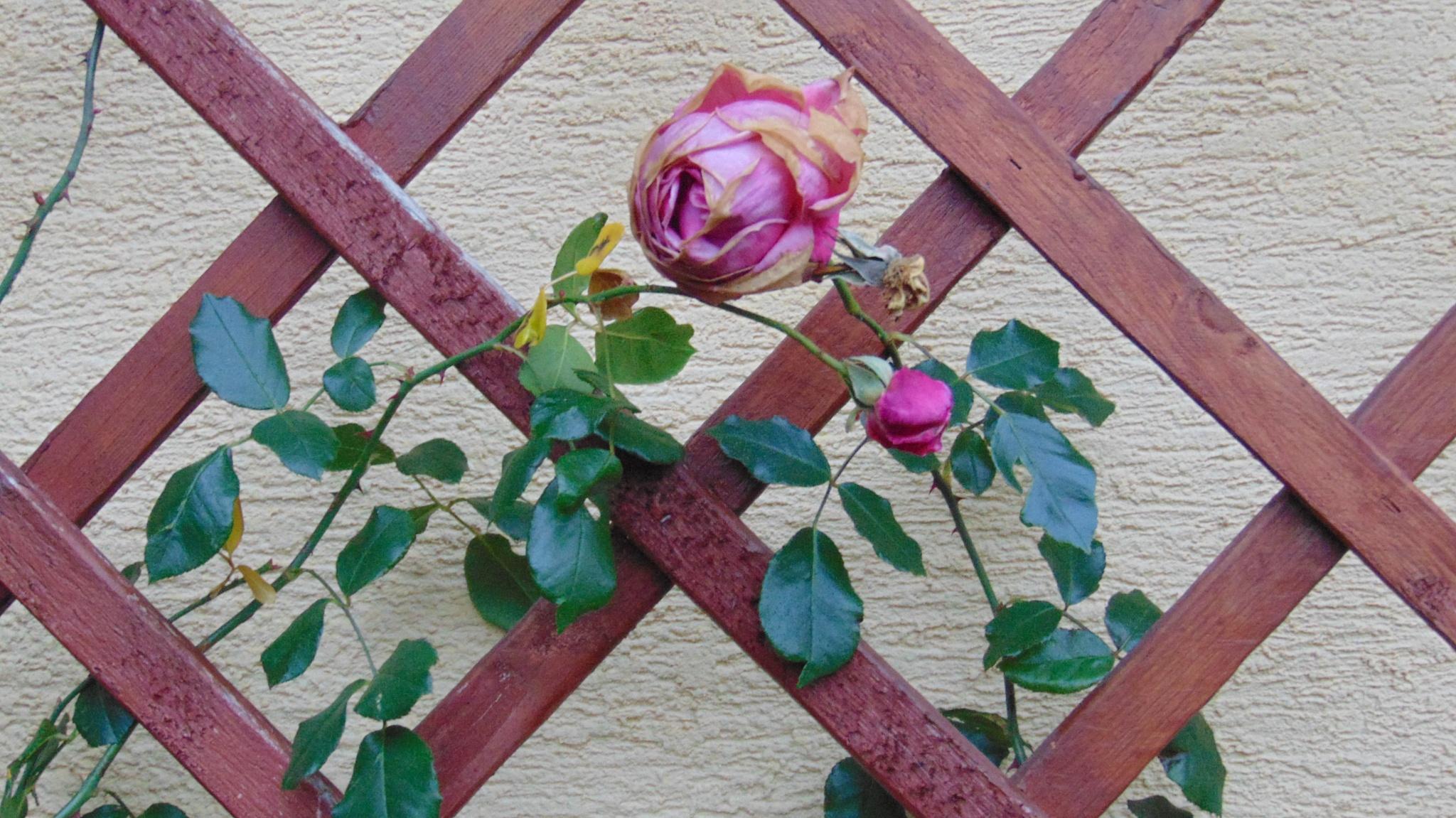 Winter roses by Tamás Horváth