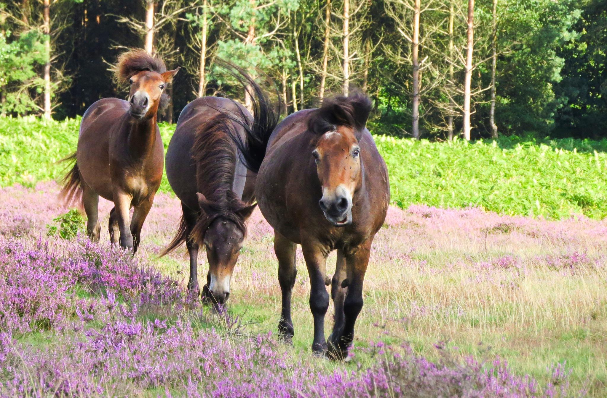 Exmoor Ponies by June
