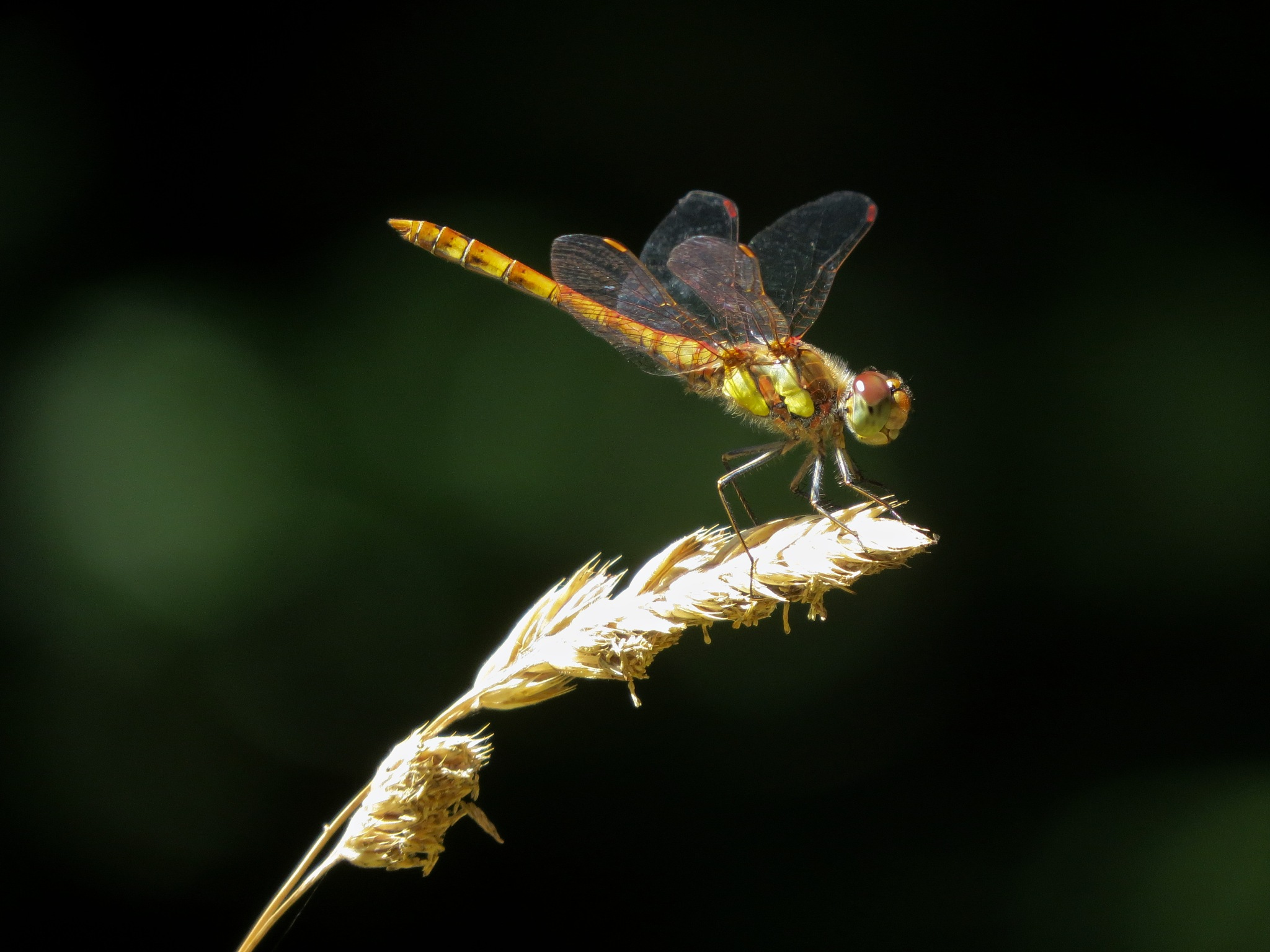 Dragonfly by June