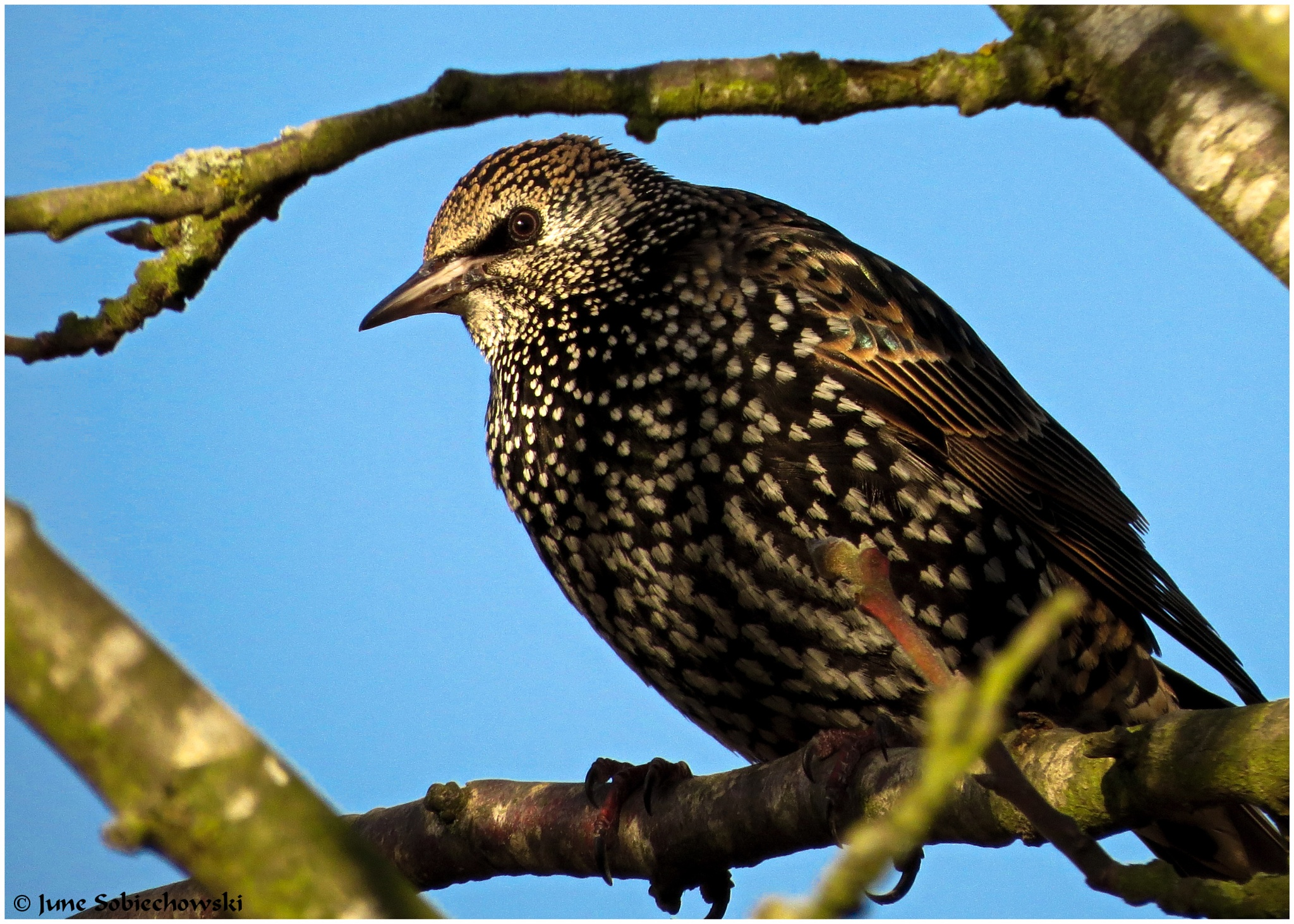 Beautiful Starling by June