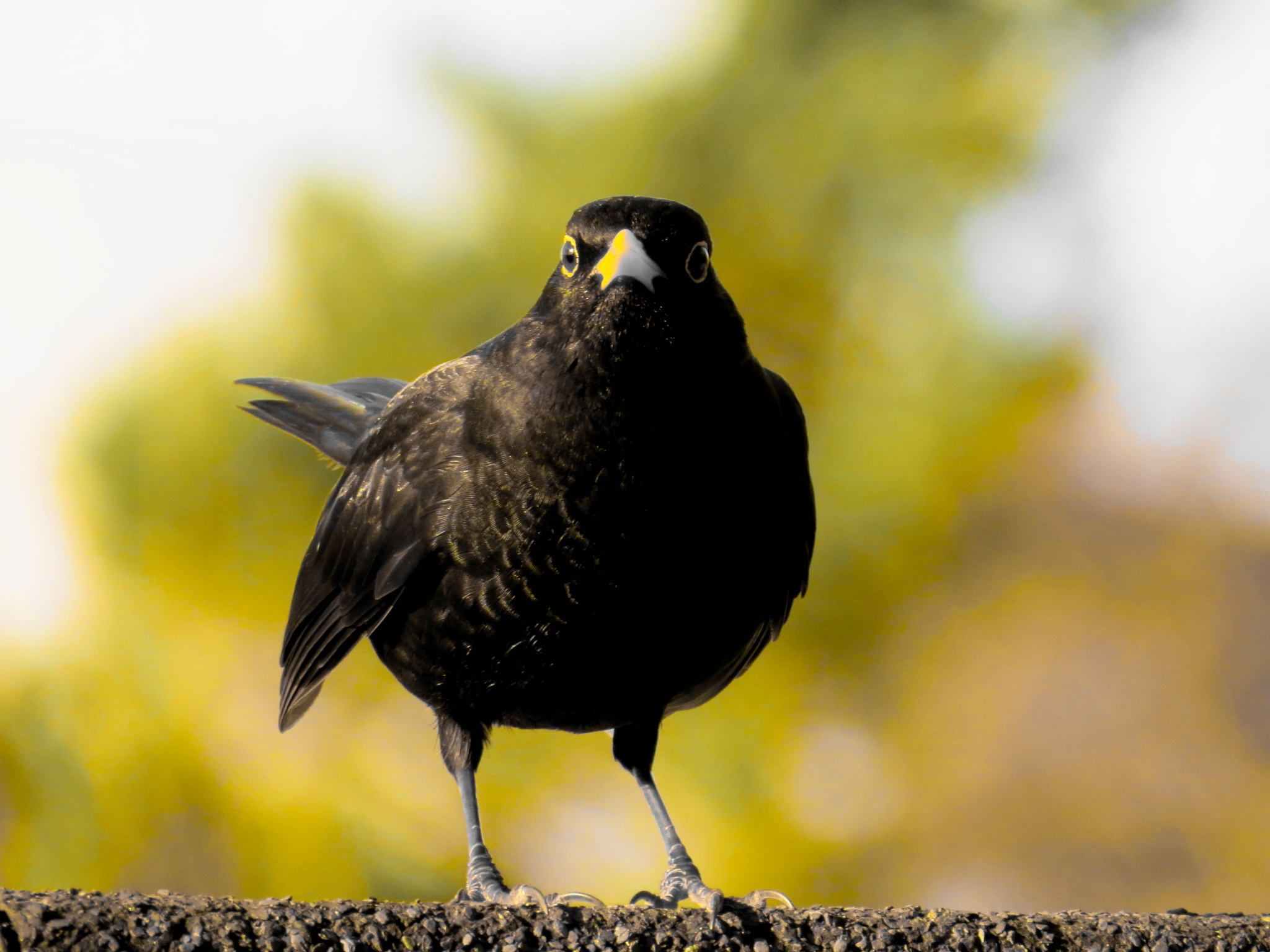 Beautiful Blackbird by June