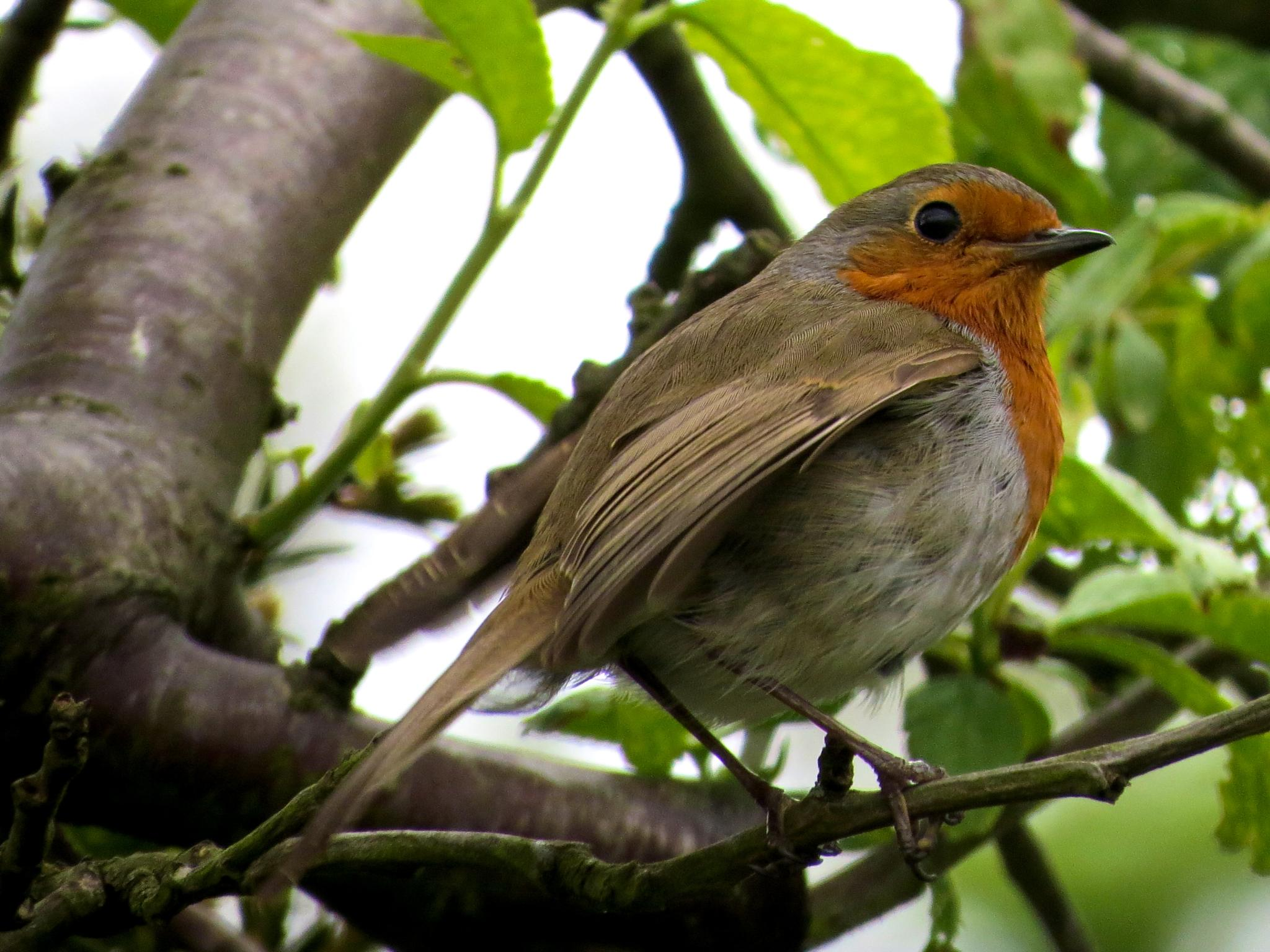 Robin in our plum tree. by June