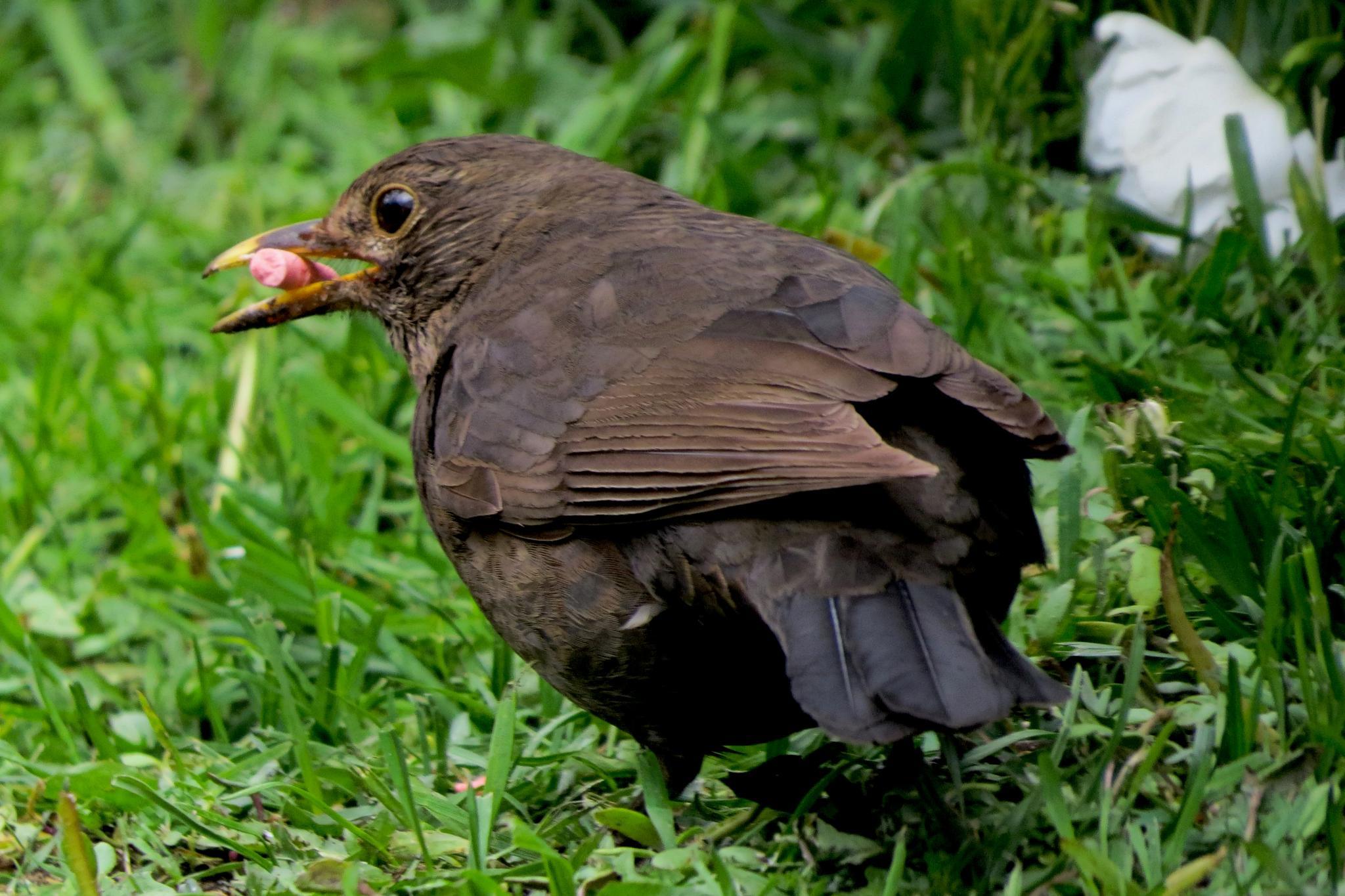female blackbird by June