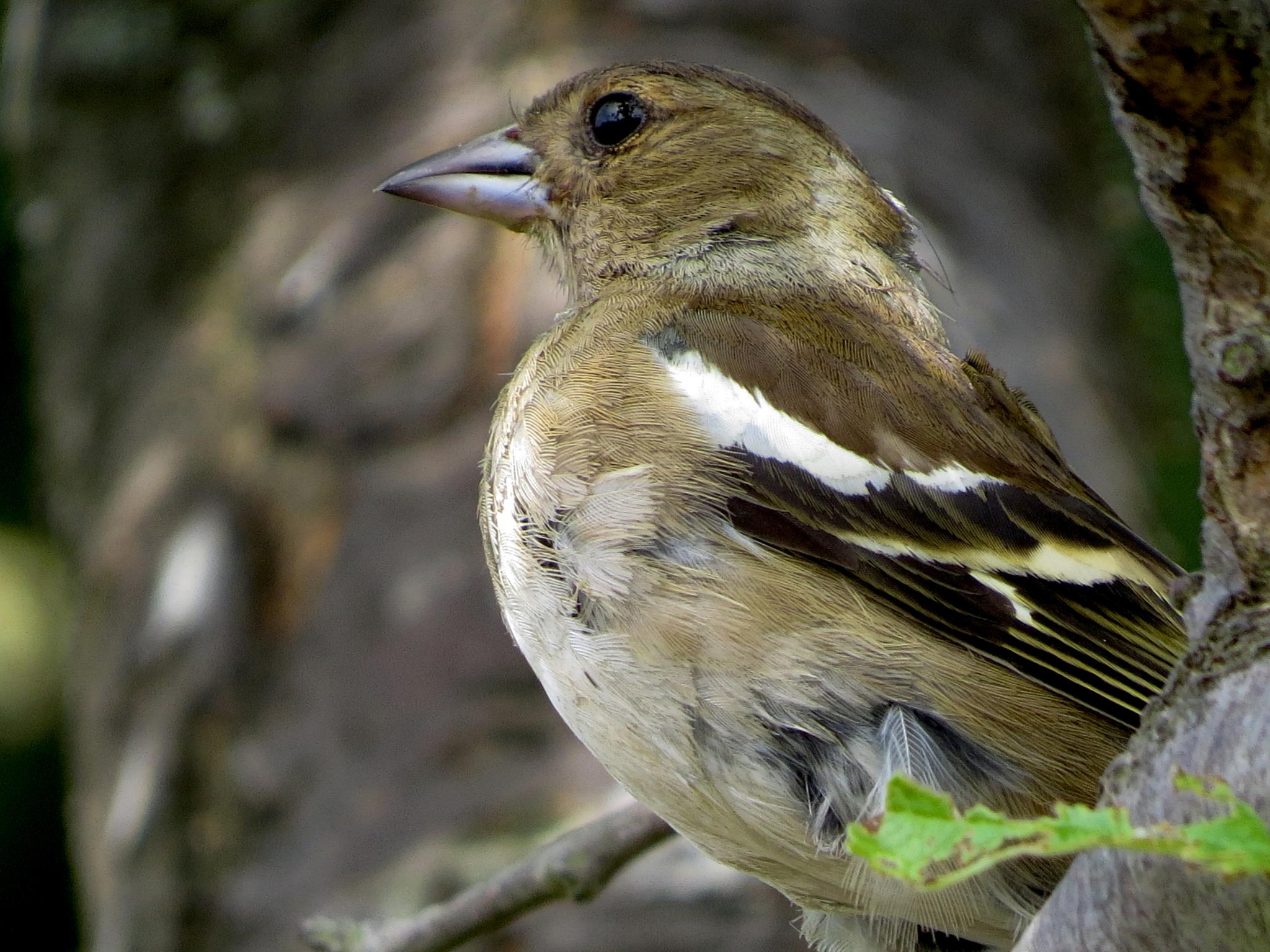 Female Chaffinch by June