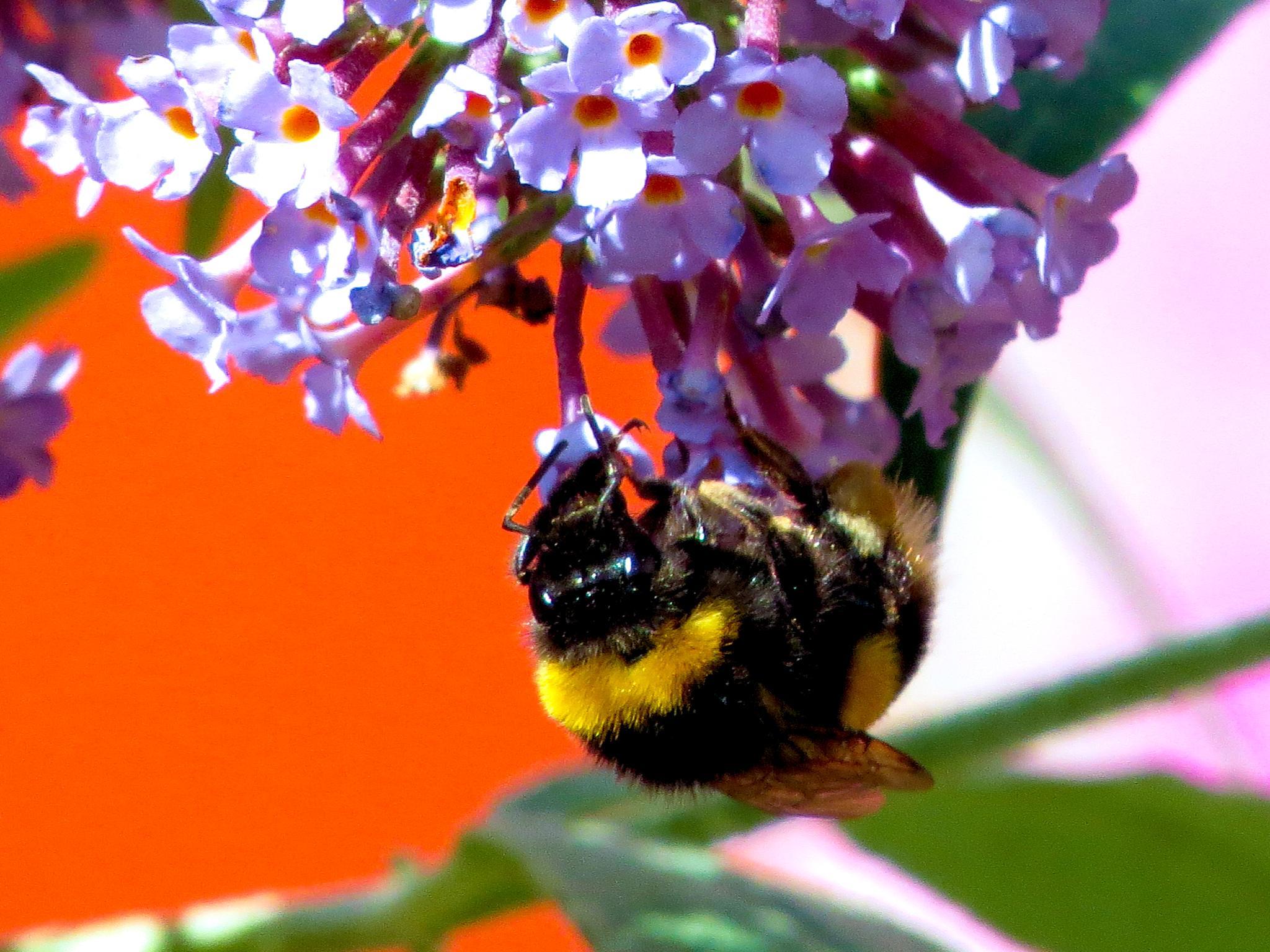 buzzzzzzzzzzzy bee collecting pollen. by June