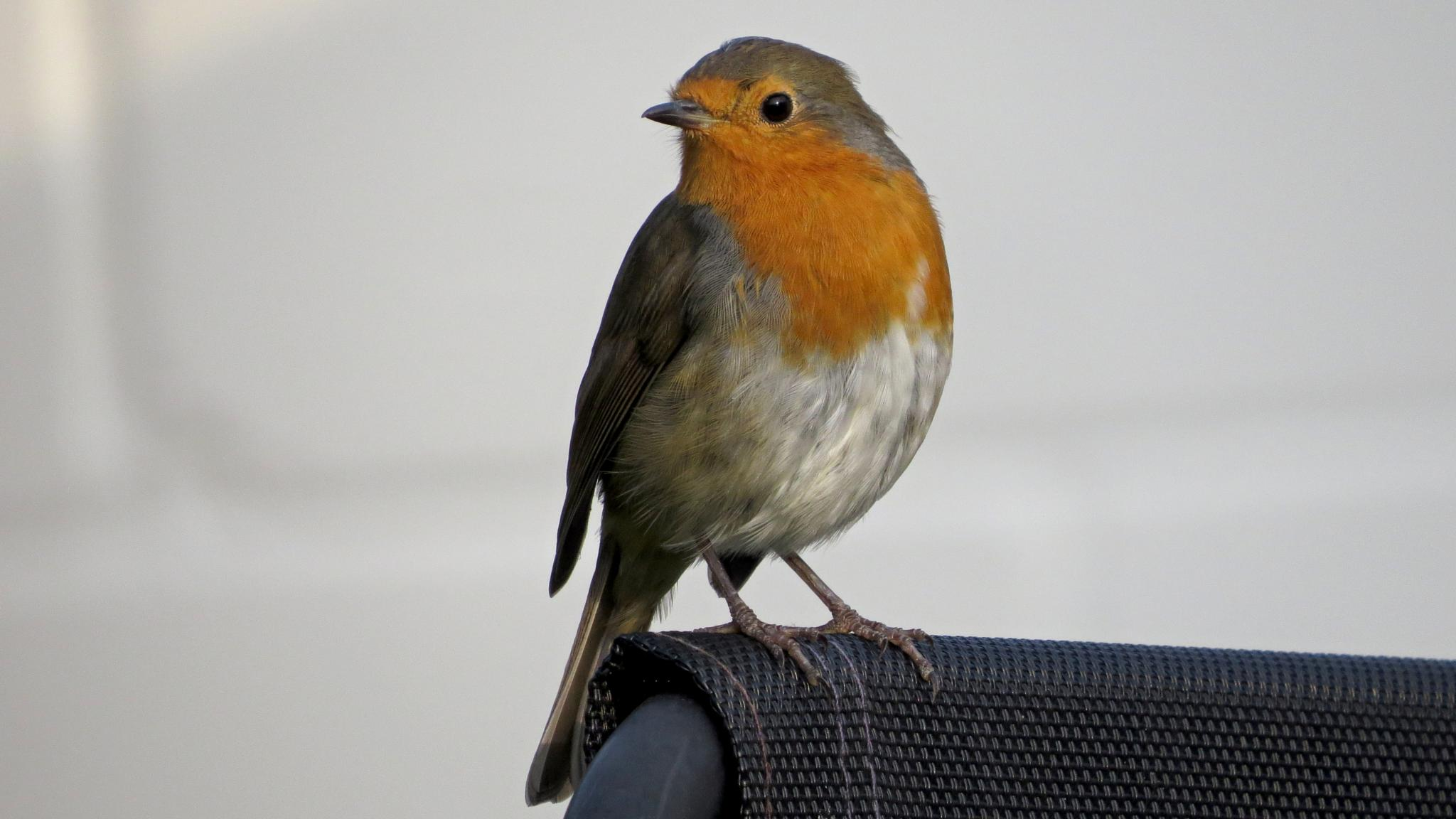 Robin on my sun lounger posing away for his little photo by June