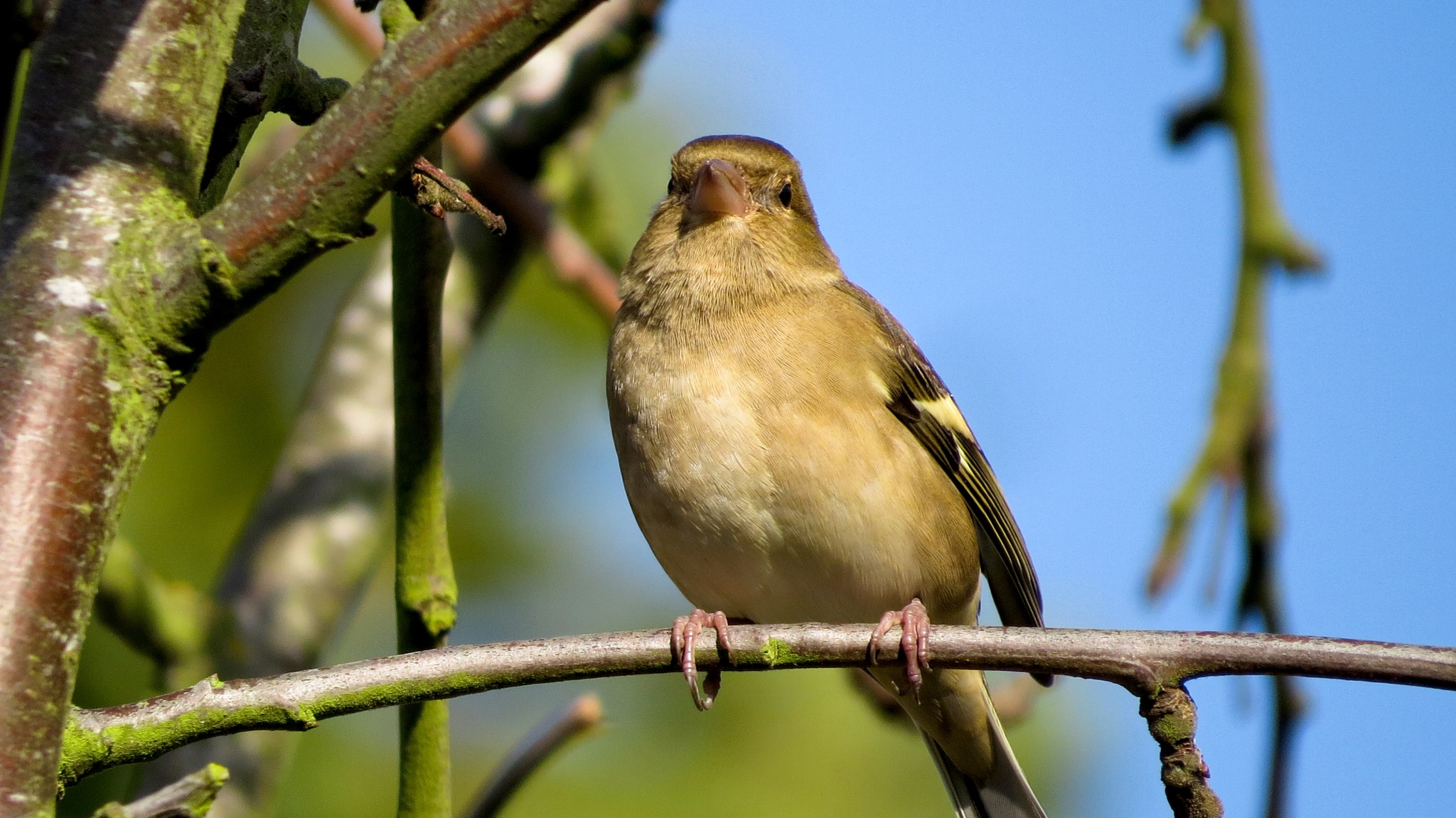 Chaffinch in the tree. by June