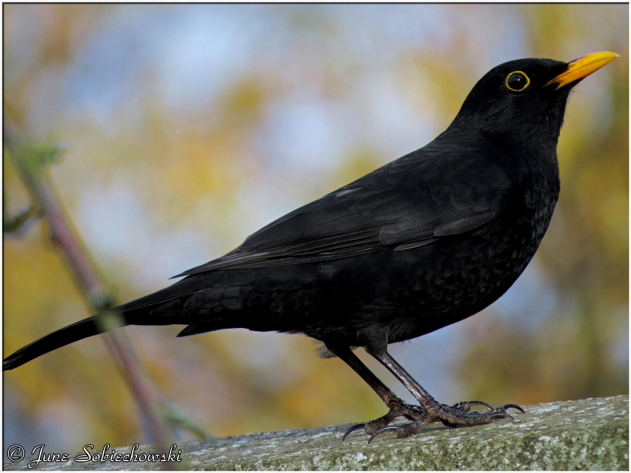 Blackbird. by June