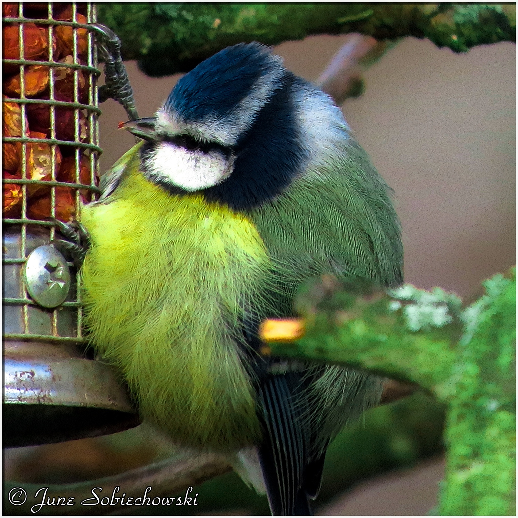 Cute Blue tit after some peanuts. by June
