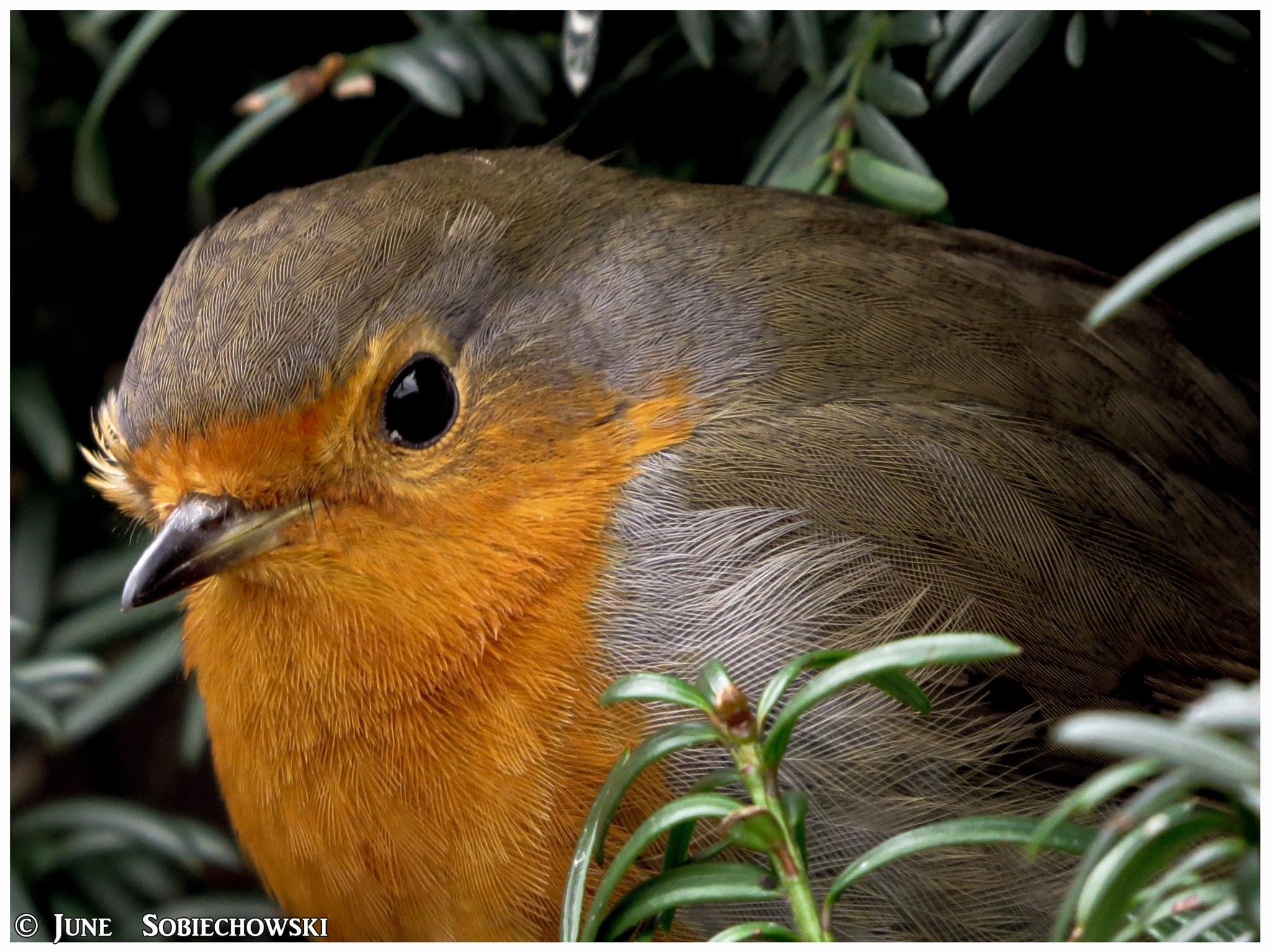Hello little Robin. by June