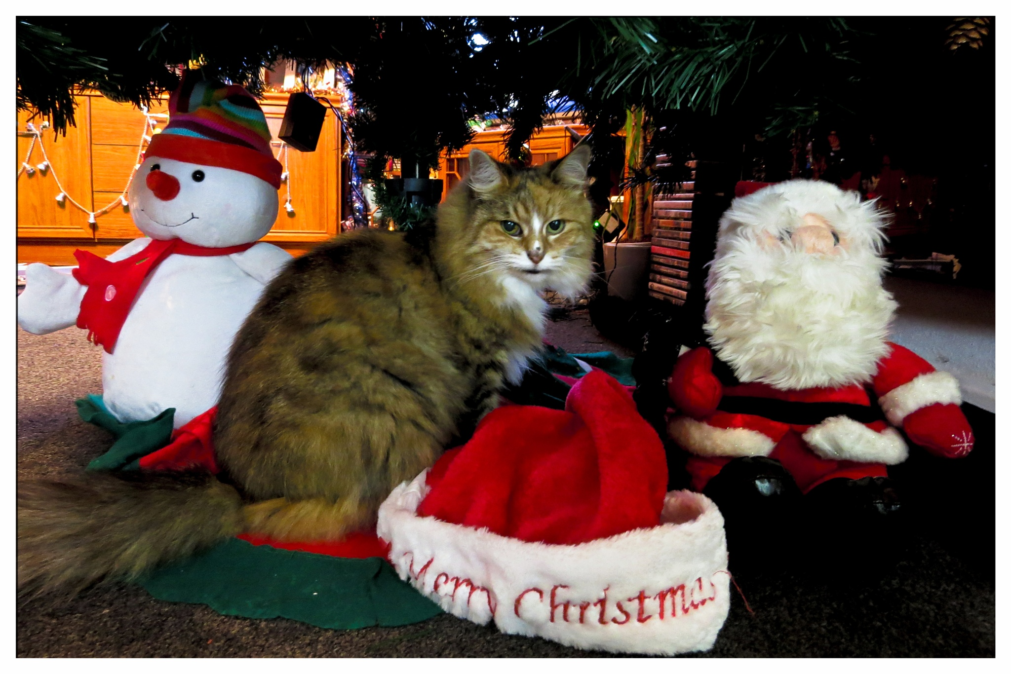 Rosie, my beautiful cat wishing you all a Very Merry Christmas. by June