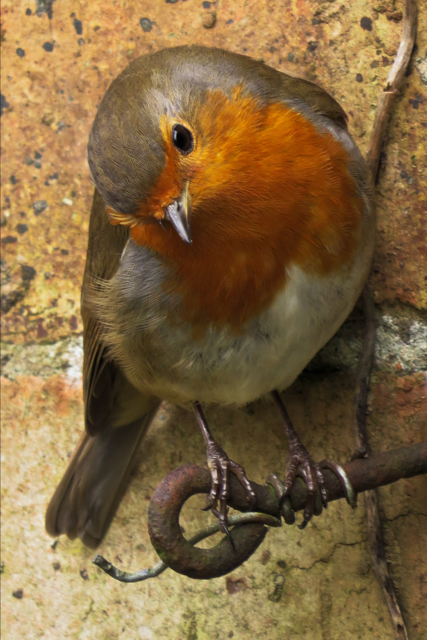 My friendly little robin who just loves to pose for his photo. by June
