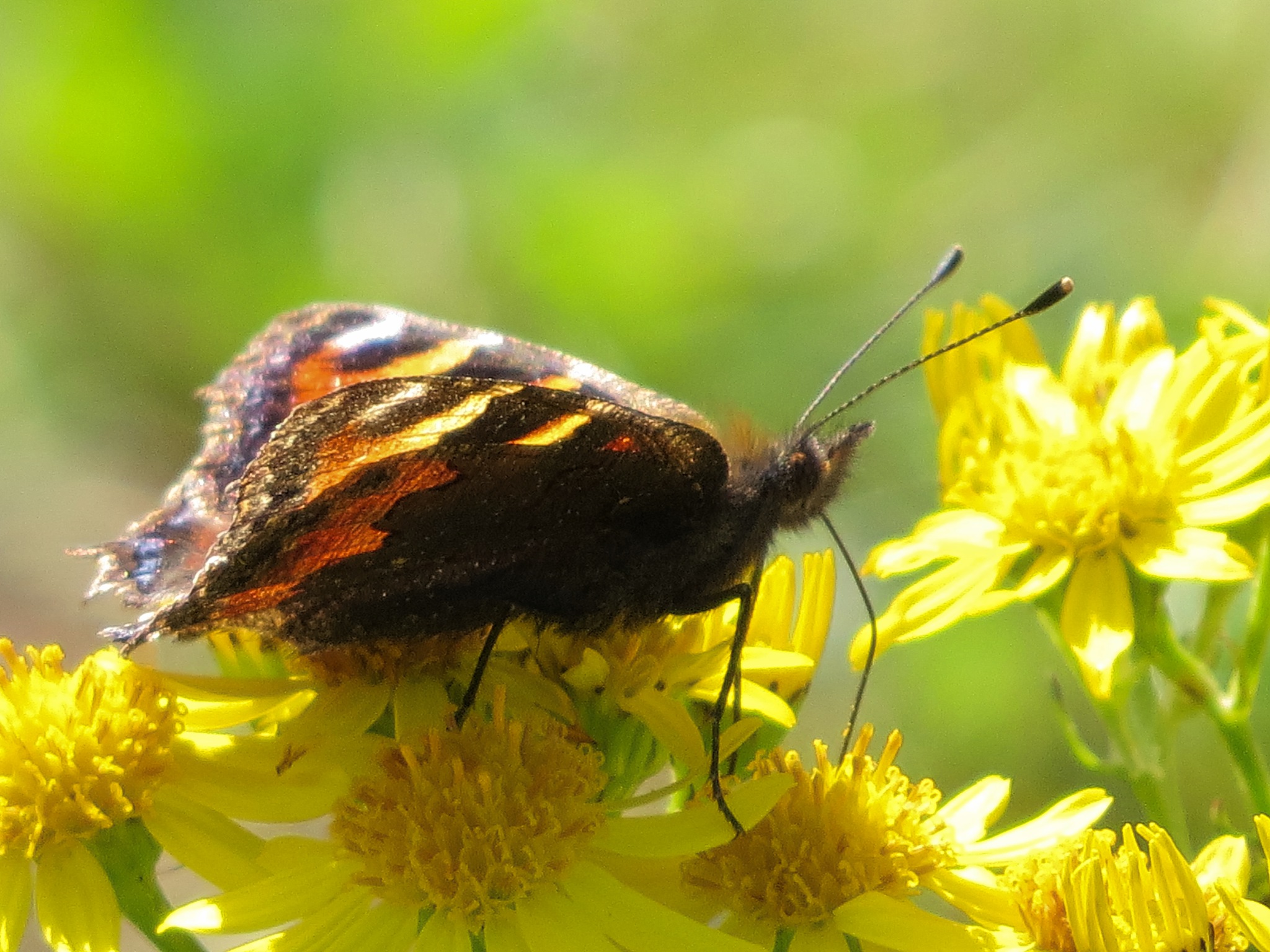 Tortoiseshell butterfly by June