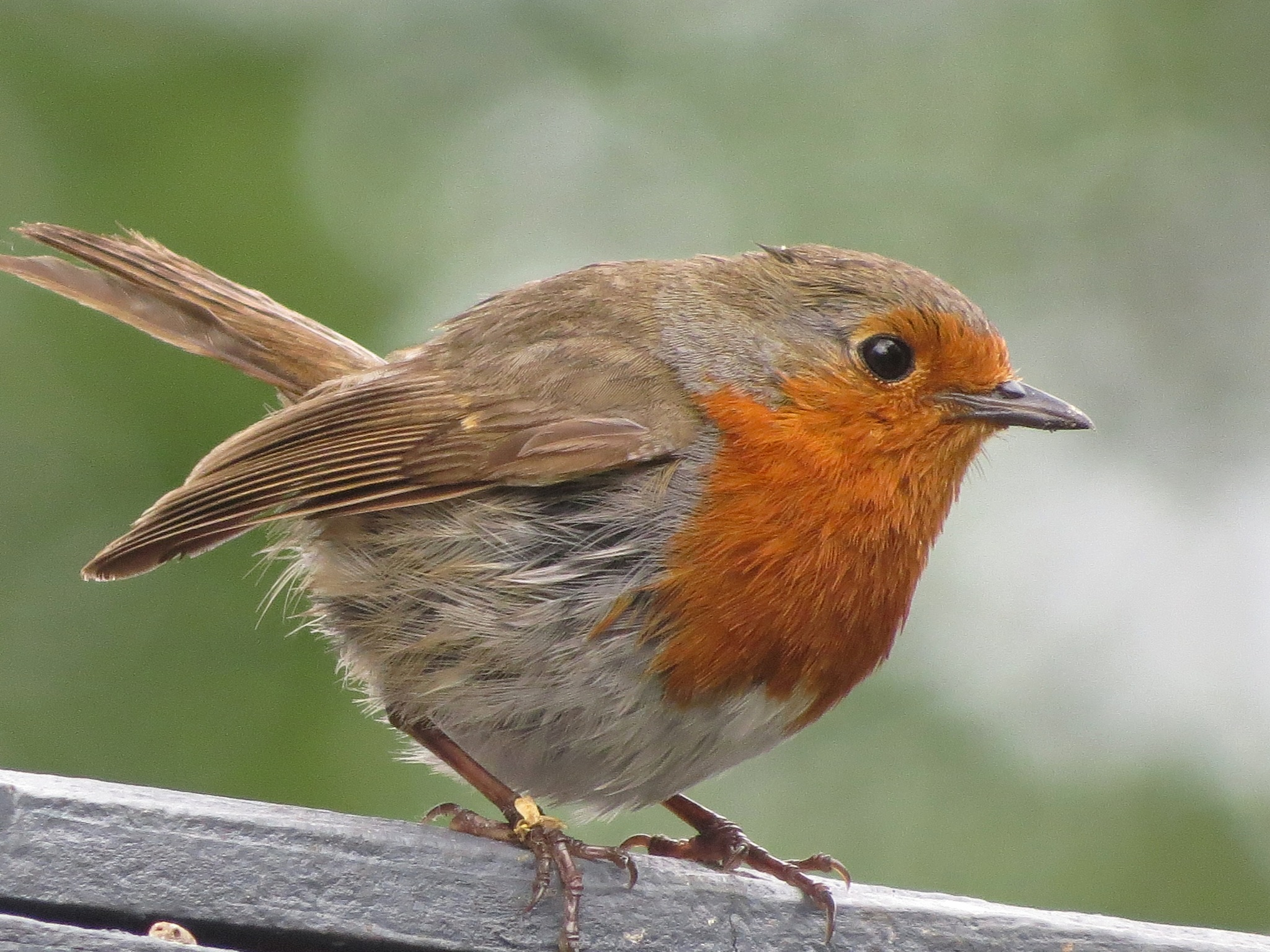 Robin. by June