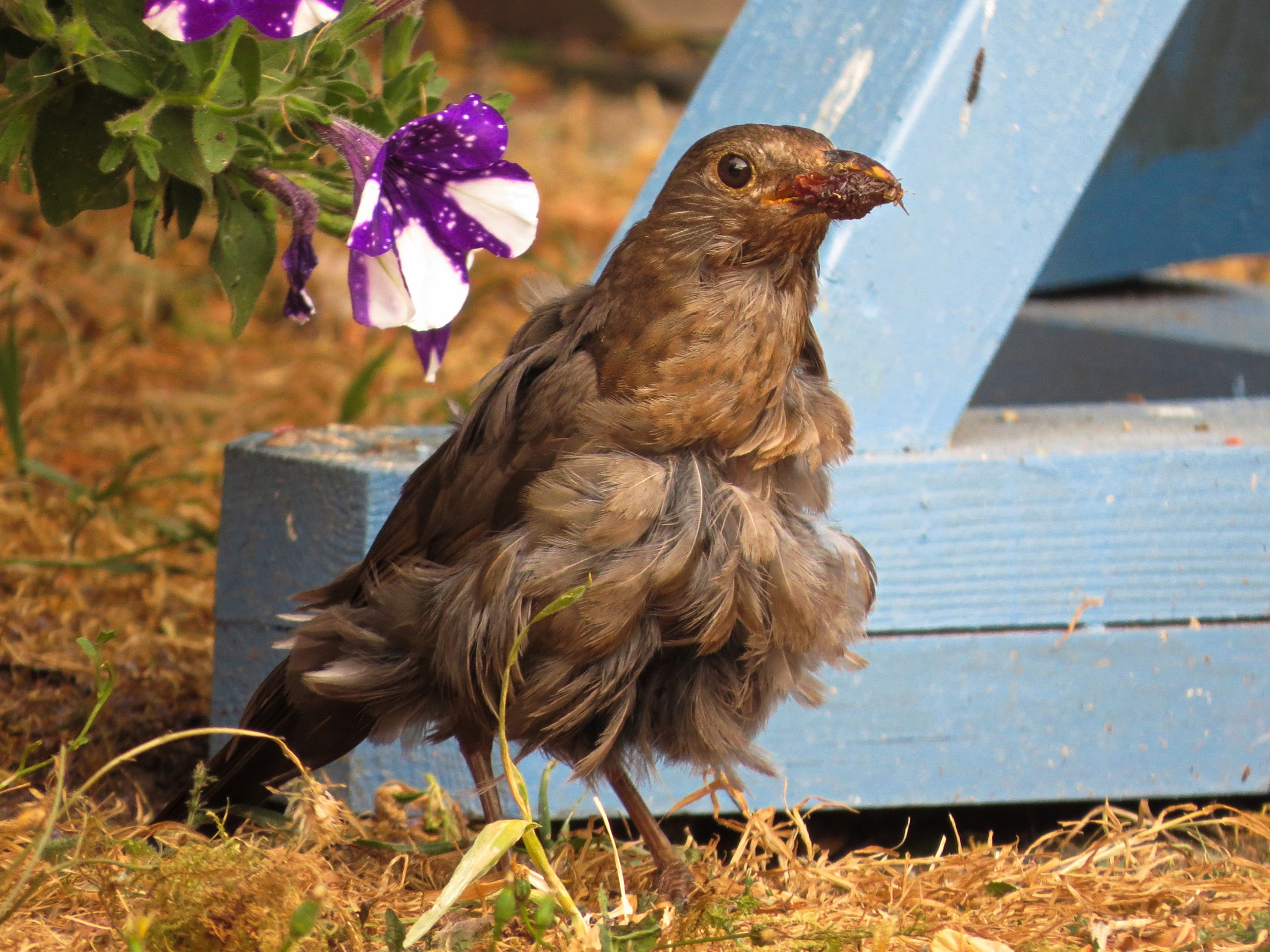 Mrs Blackbird on the moult.  by June