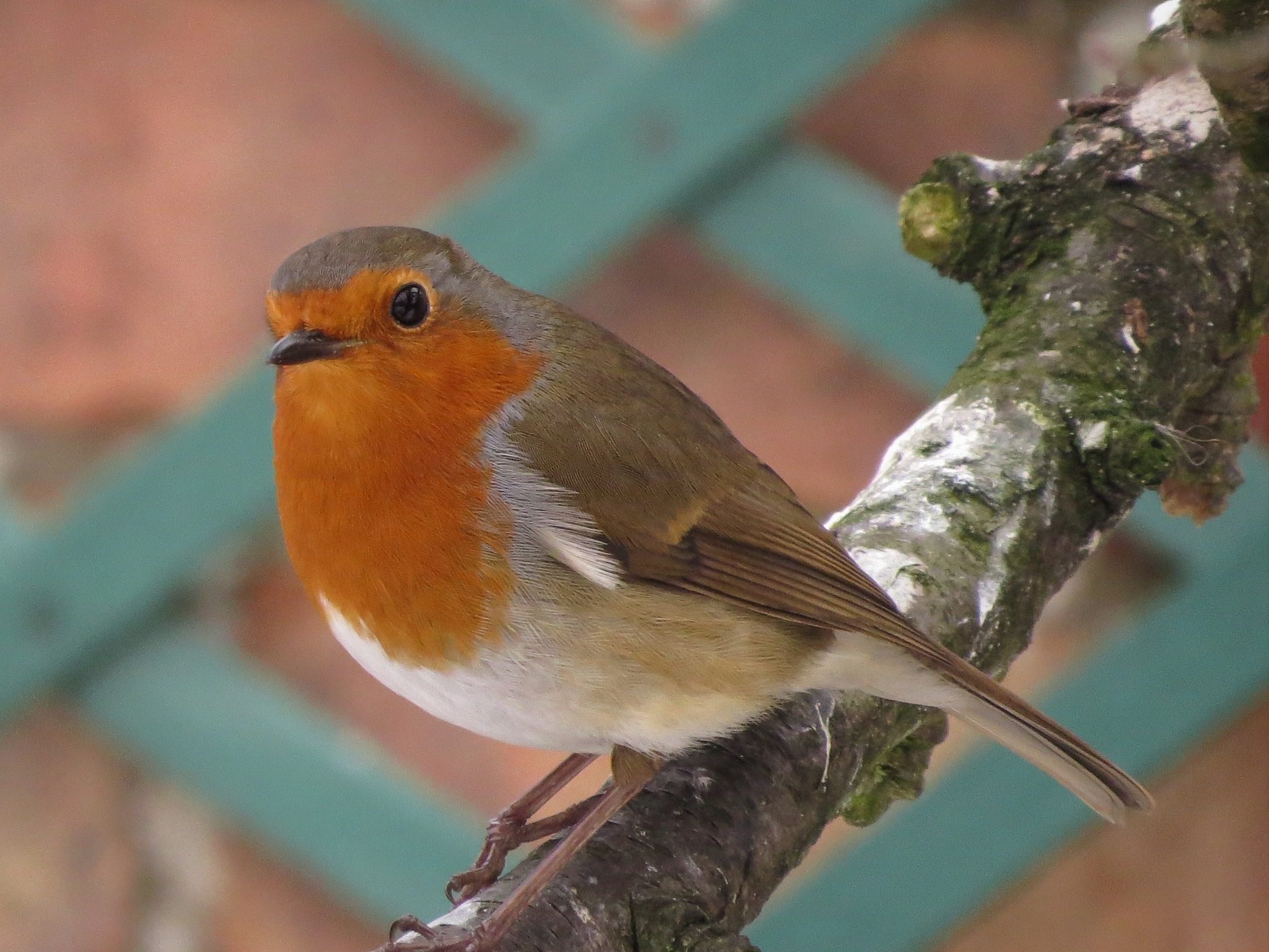 Robin. by June