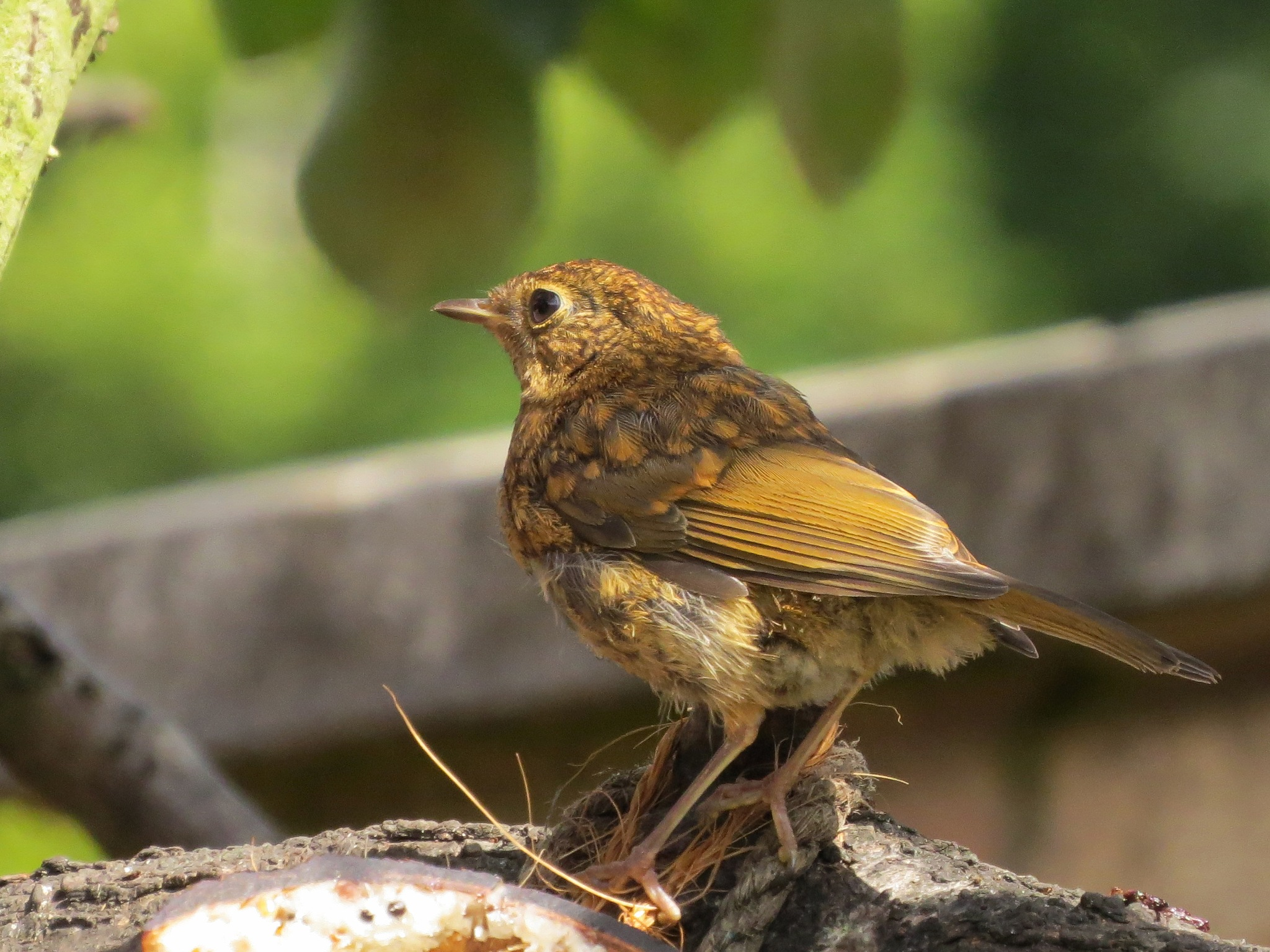 Baby robin by June
