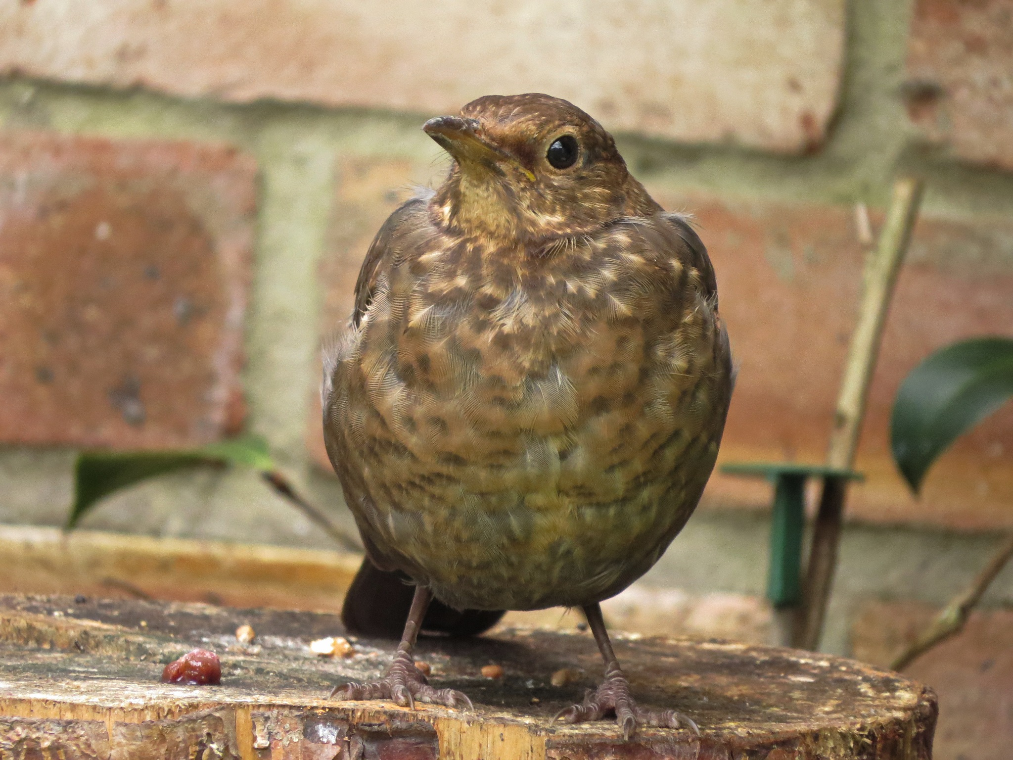 Blackbird in our garden. by June