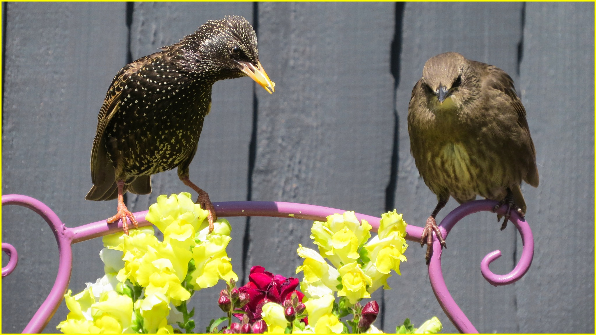 Parent with baby starling. by June