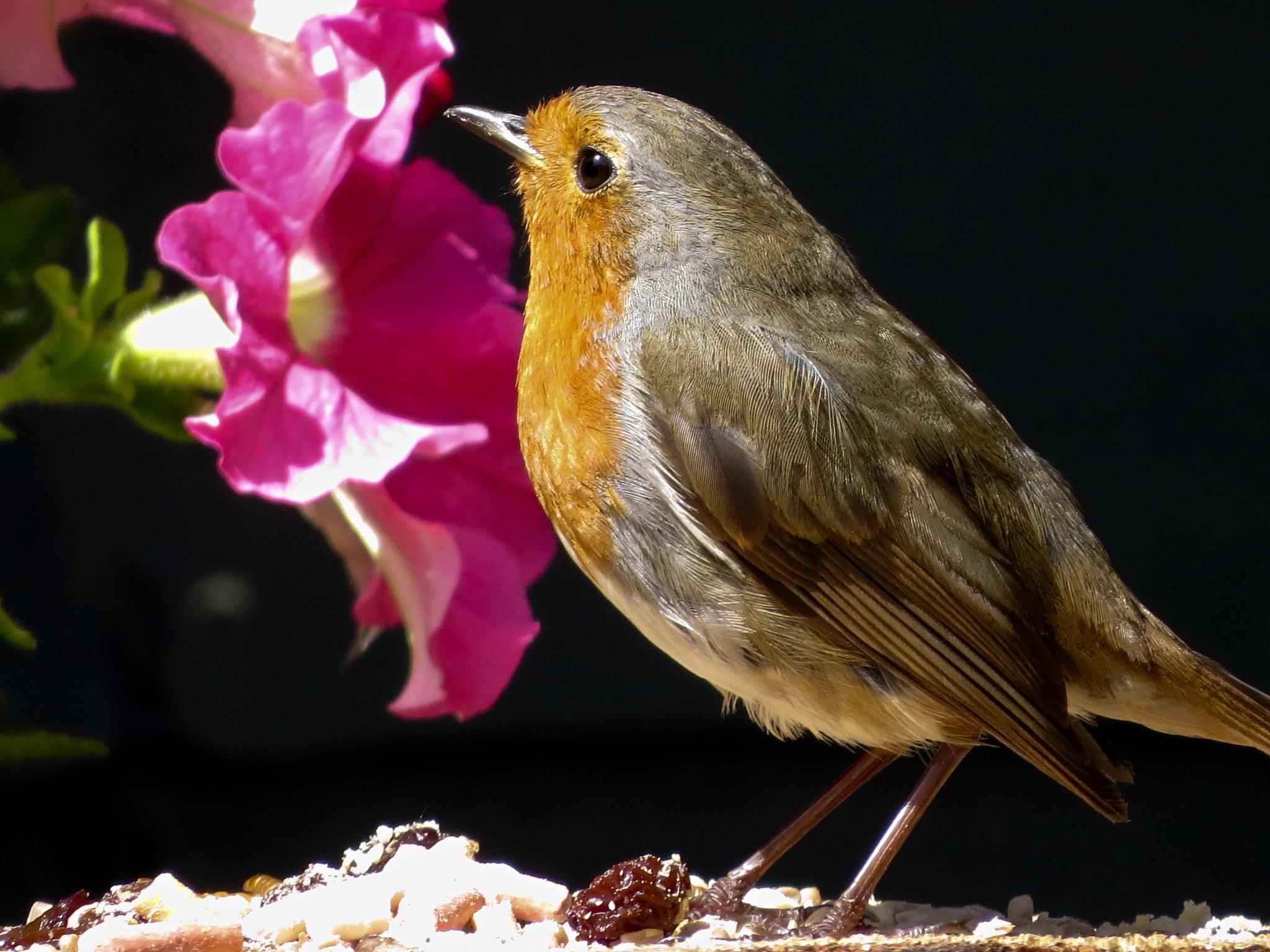 Beautiful Robin.       by June