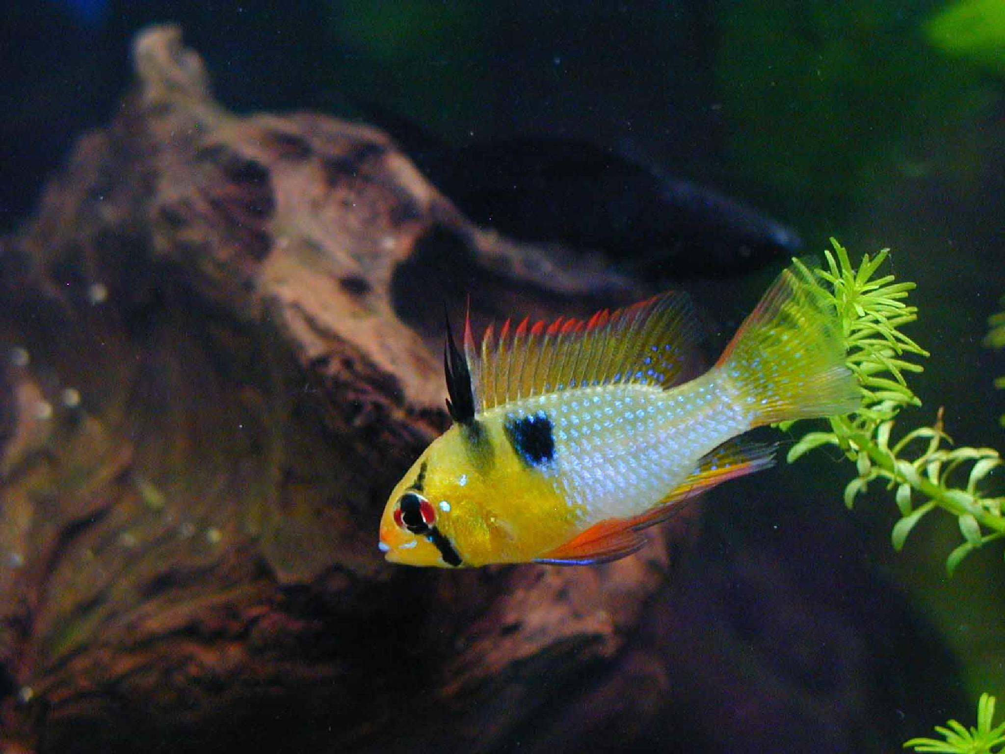 Mikrogeophagus ramirezi by Rita Simmonds