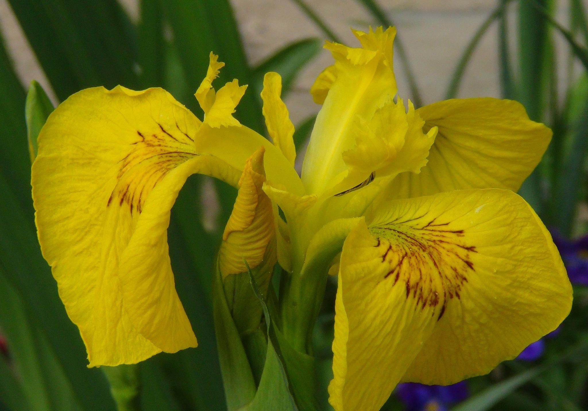 Yellow Flag Iris by Rita Simmonds