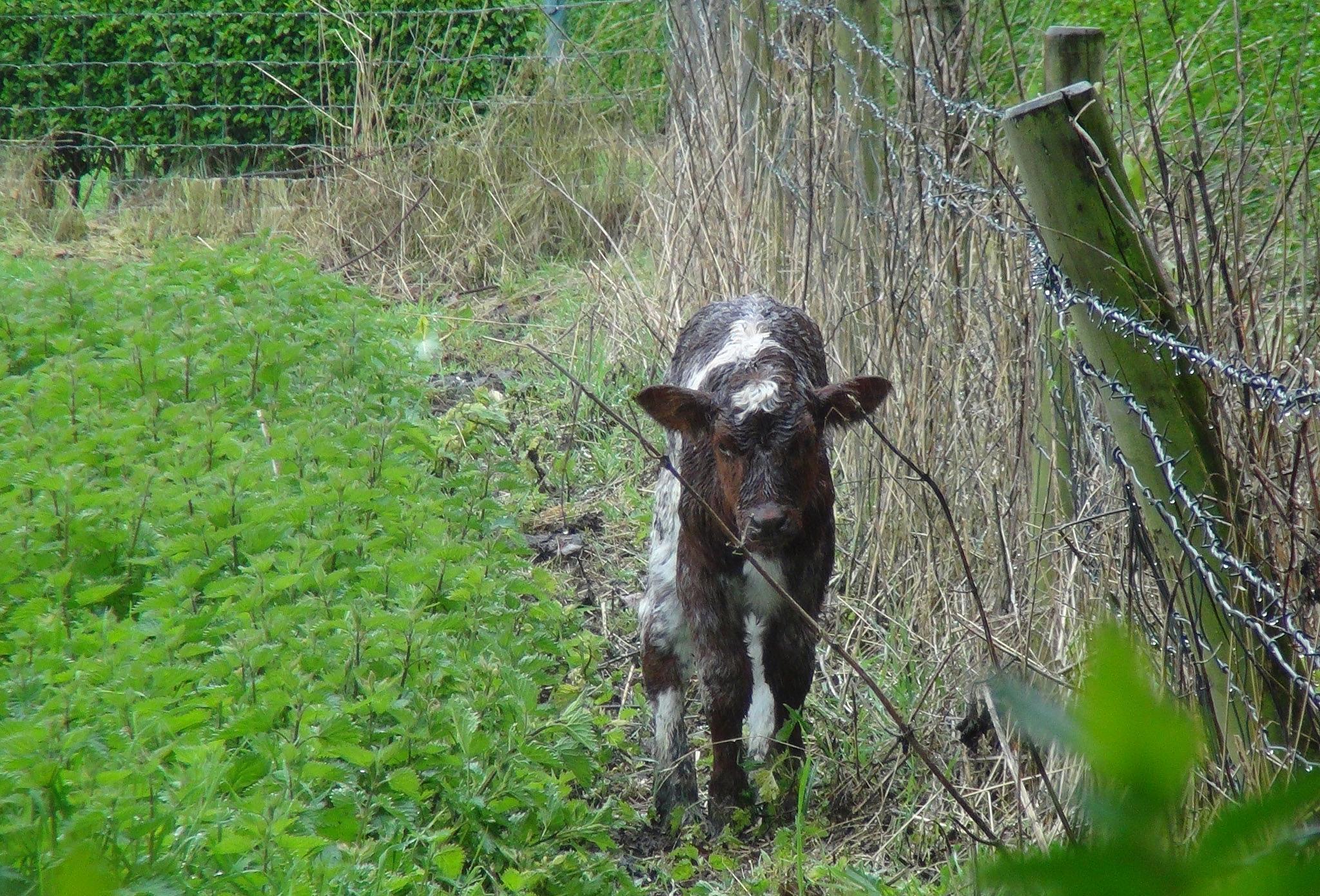 Poor Cow by Rita Simmonds