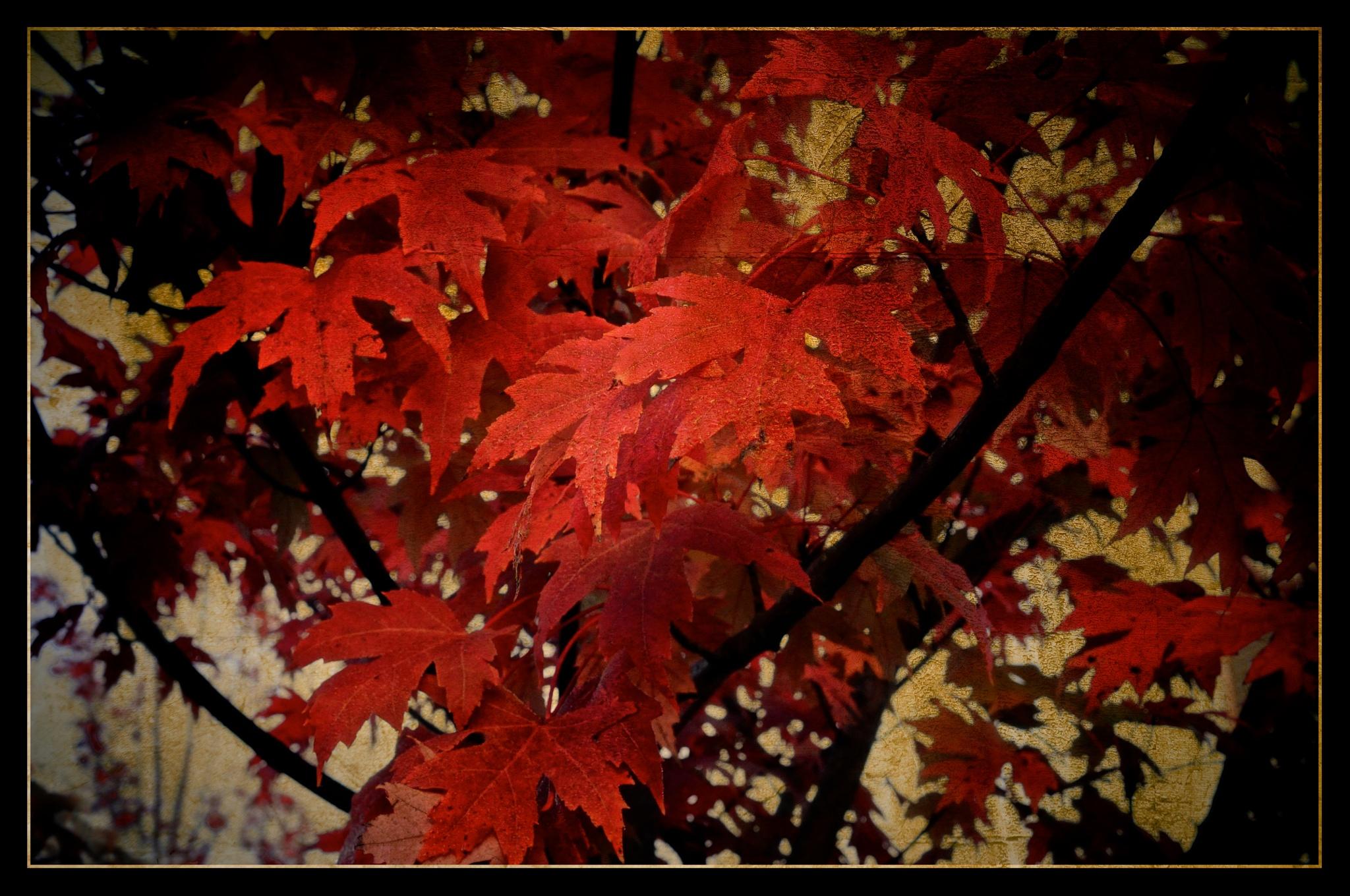 Maples by imagemaker