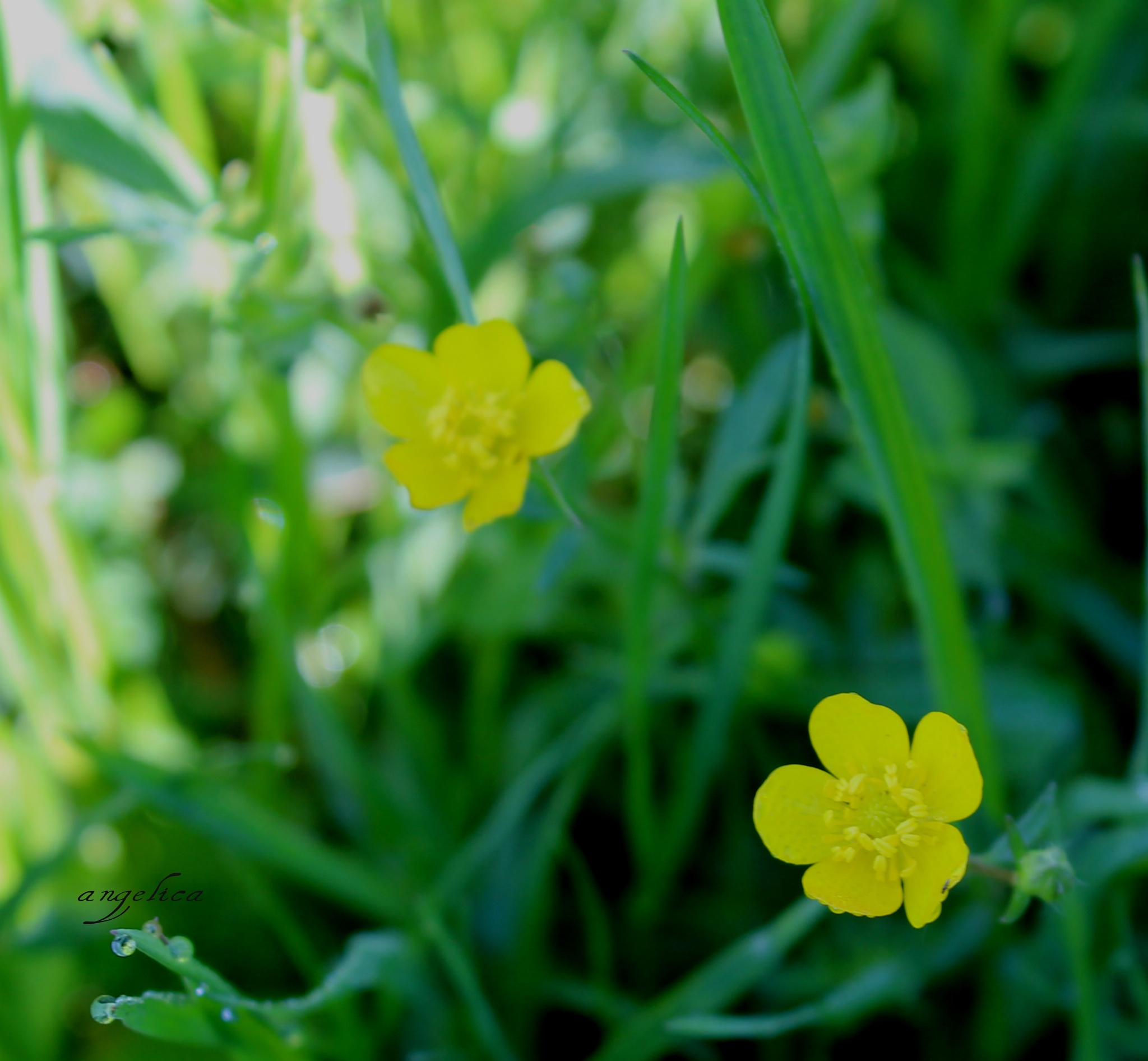 Yellow field flowers.. by Angelica