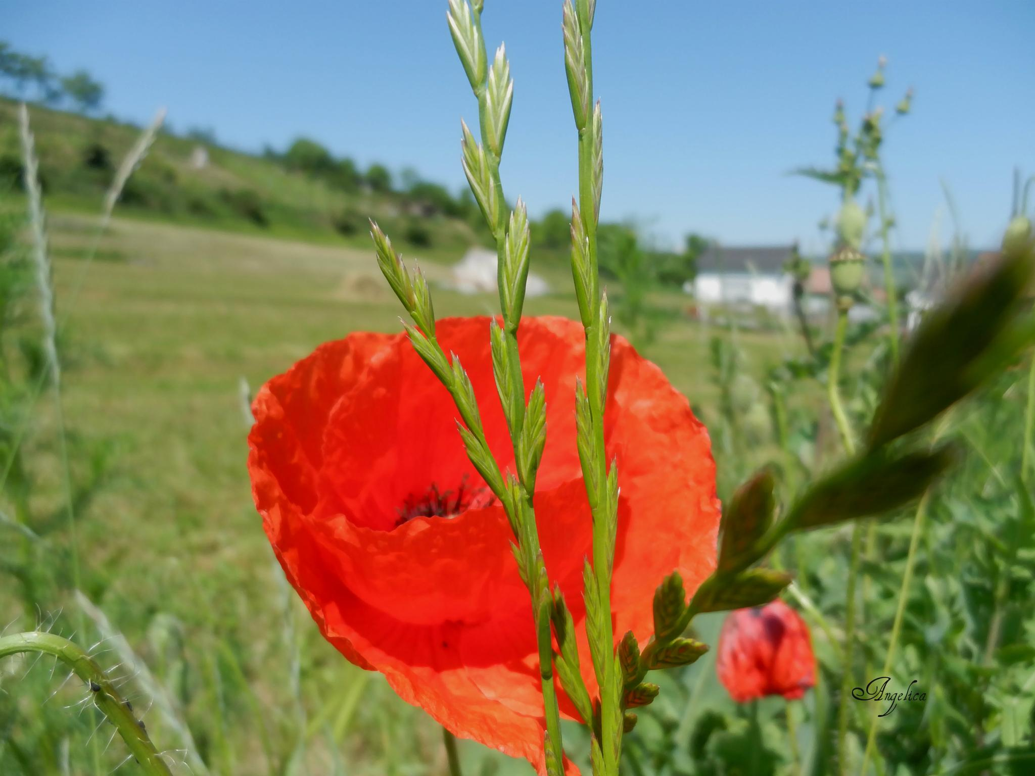 Field and poppy.. by Angelica