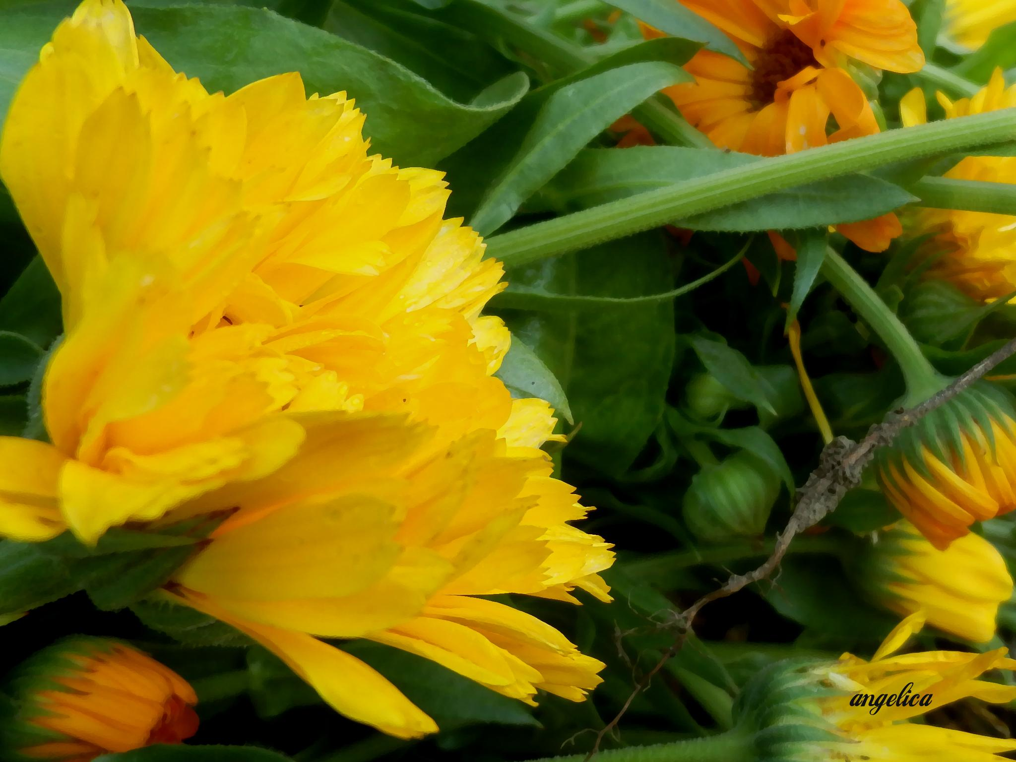 Summer memories and Marigold.. by Angelica